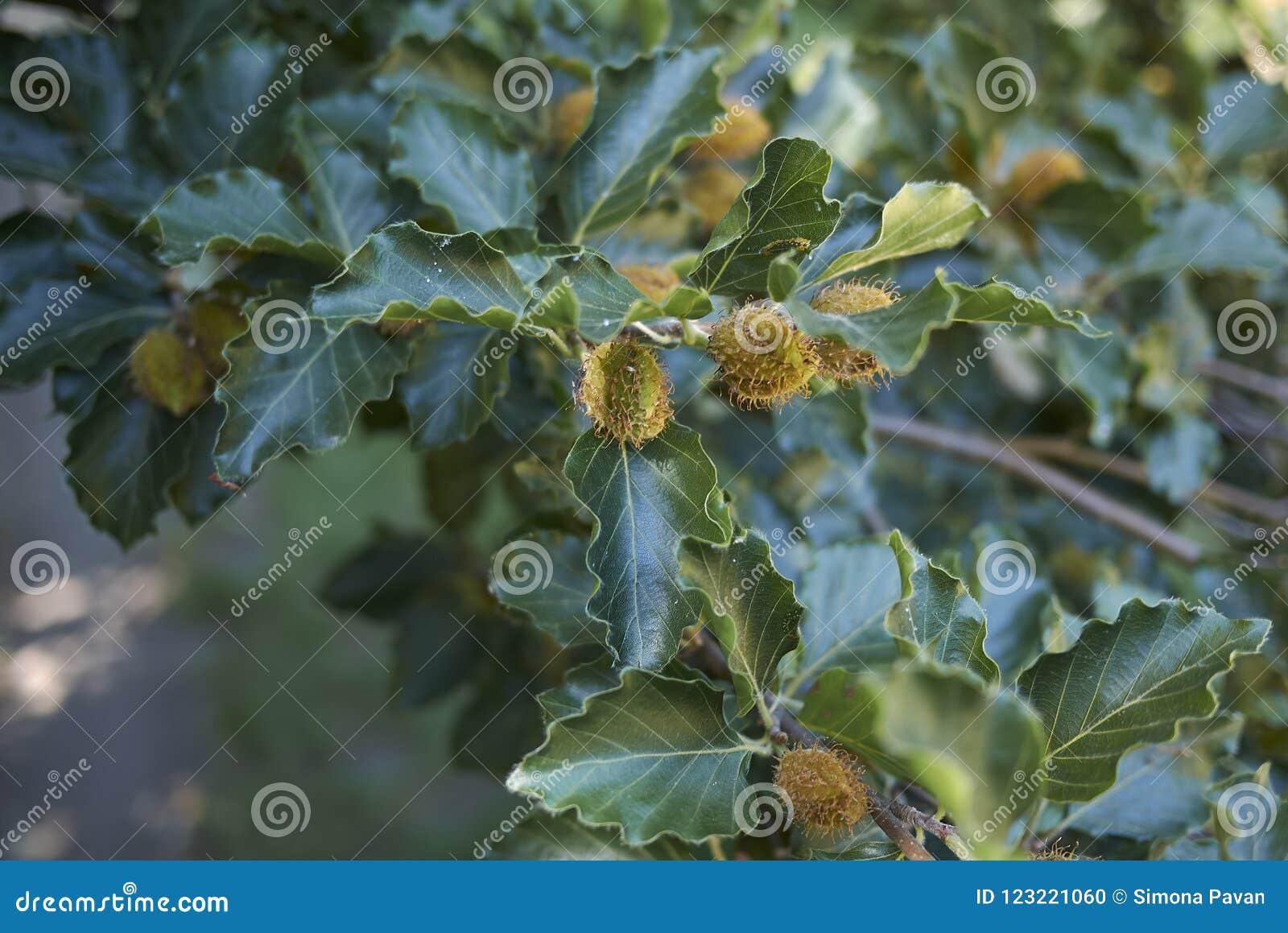 Κλάδος του δέντρου sylvatica Fagus