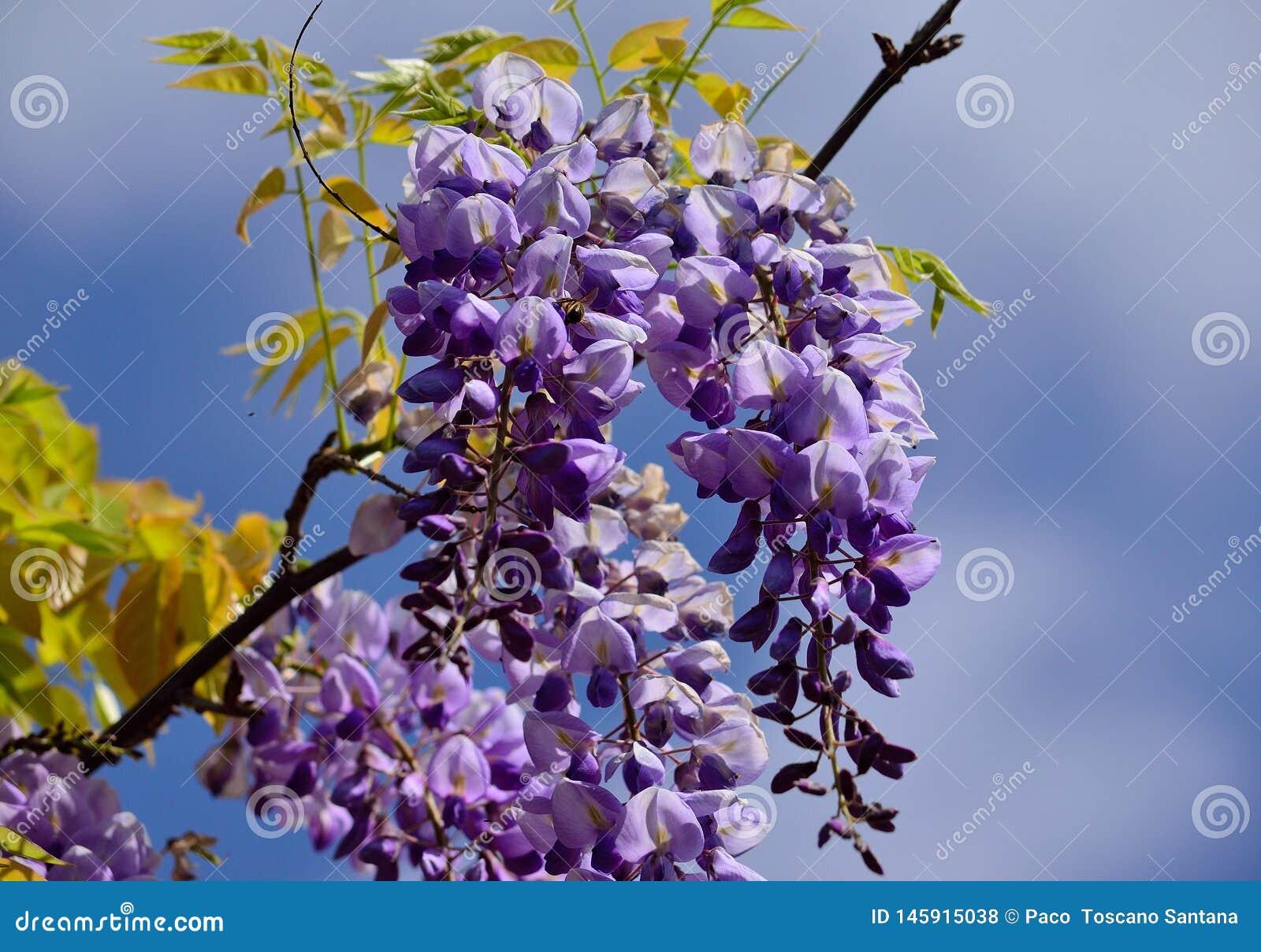 Κλάδος των λουλουδιών Wisteria