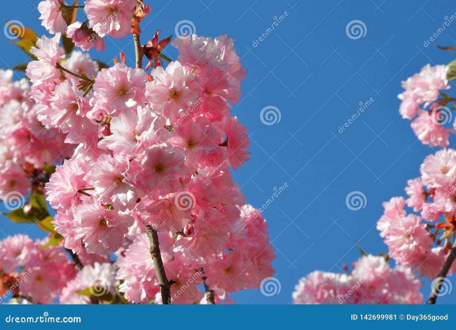 Κλάδος των ρόδινων ανθών κερασιών ενάντια στο μπλε ουρανό ανθίζοντας κήπος Άνοιξη Sakura στην άνθιση