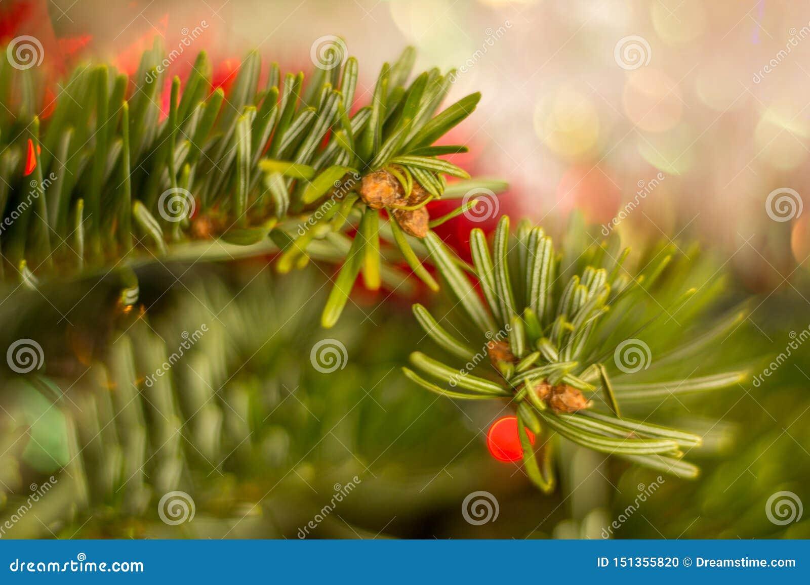 Κλάδος χριστουγεννιάτικων δέντρων με τους οφθαλμούς
