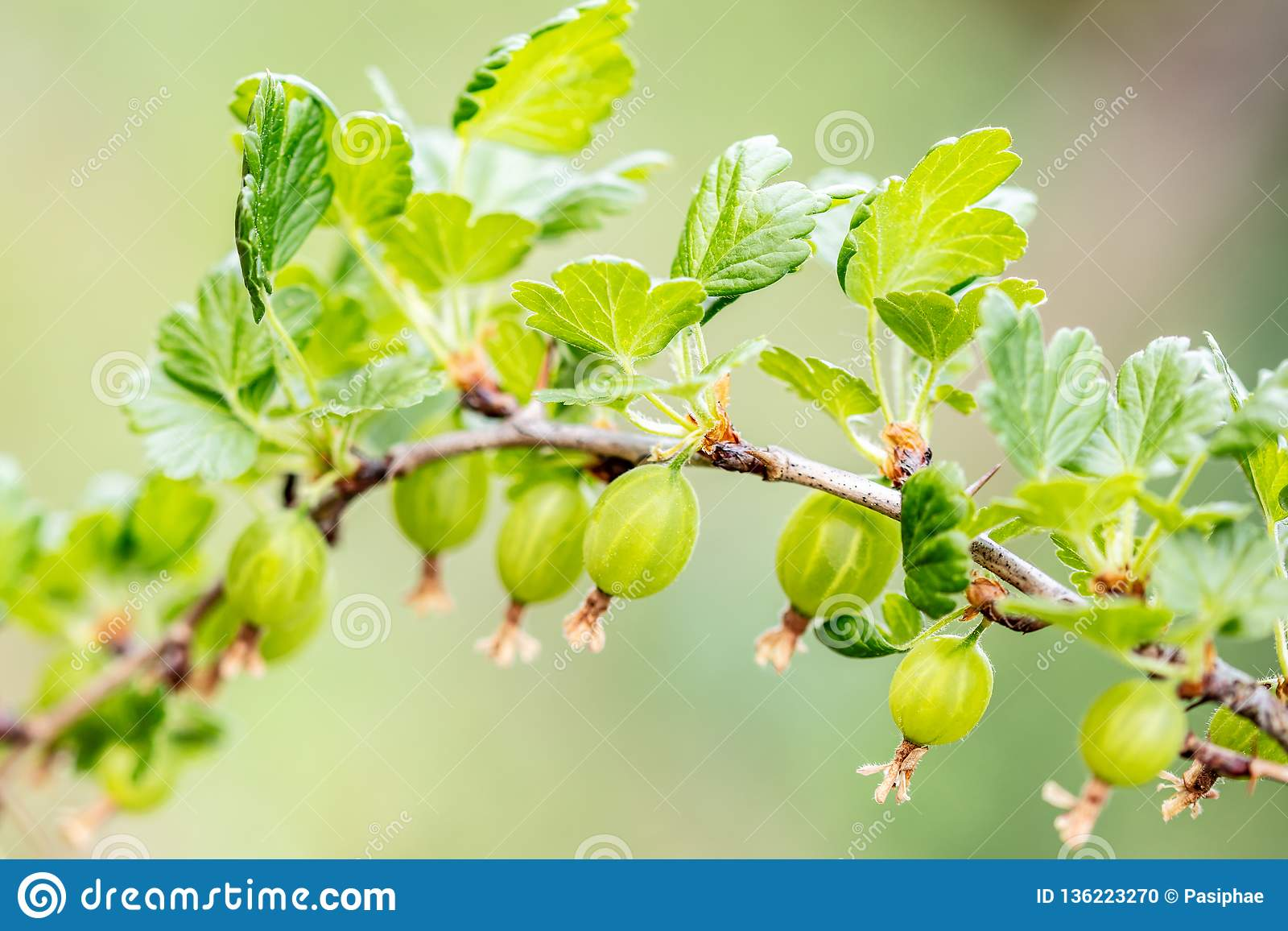 Κλάδος uva-crispa Ribes με τις νεολαίες πράσινα ριβήσια, αύξηση και ωριμότητα