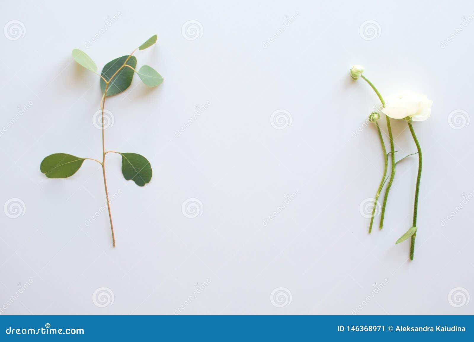 Κλαδάκι των λουλουδιών ευκαλύπτων και βατραχίων