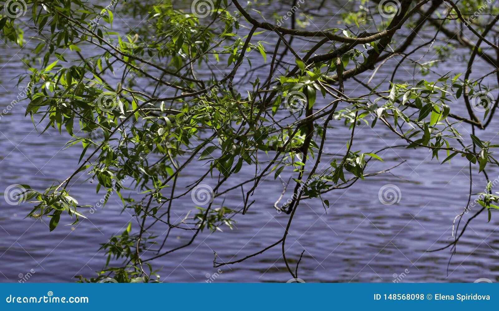 Κλαδίσκοι με τα πράσινα νέα φύλλα αναμμένα από τον ήλιο