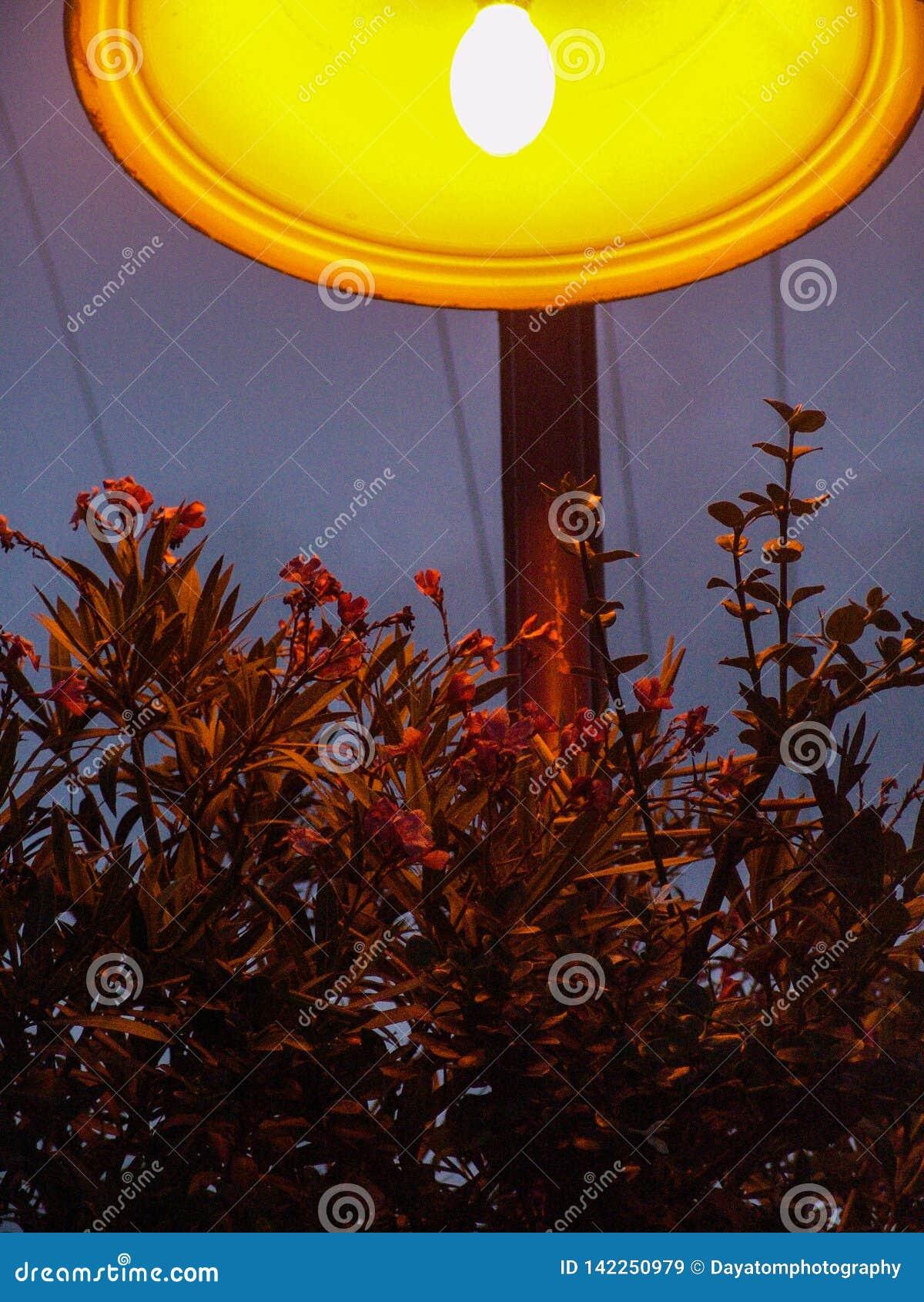 Κλείστε επάνω ενός κόκκινου ανθίζοντας θάμνου λουλουδιών κάτω από έναν αναμμένο πορτοκάλι λαμπτήρα πόλεων τη νύχτα, στο πάρκο Hol
