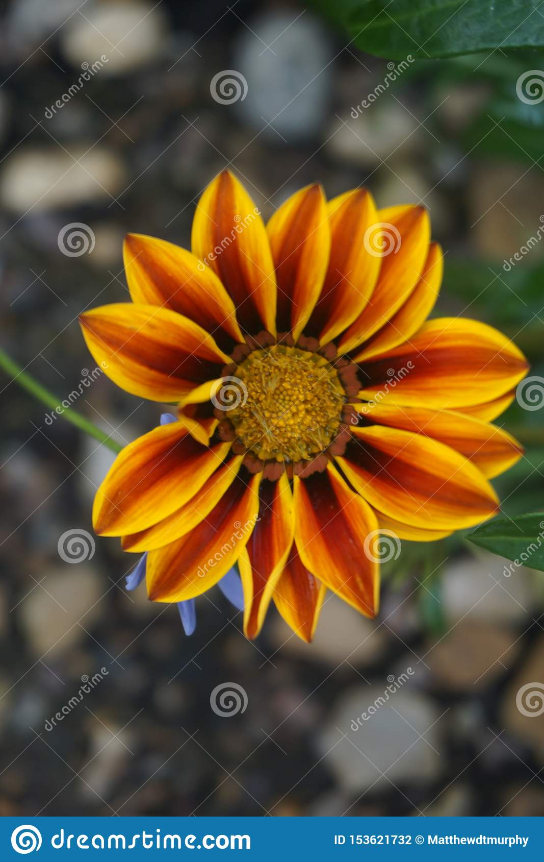 Κλείστε επάνω ενός λουλουδιού