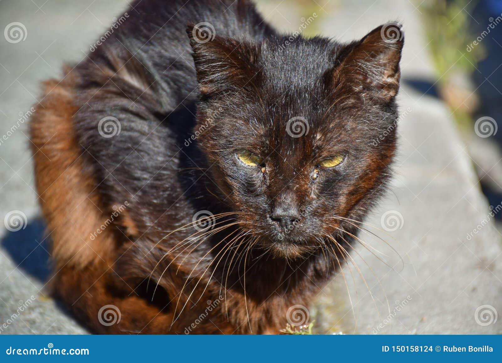 κλείστε επάνω ενός πορτρέτου της άστεγης σκοτεινής καφετιάς γάτας πολύ ήρεμης στο πεζοδρόμιο σε μια ηλιόλουστη ημέρα Η εγκαταλειμ