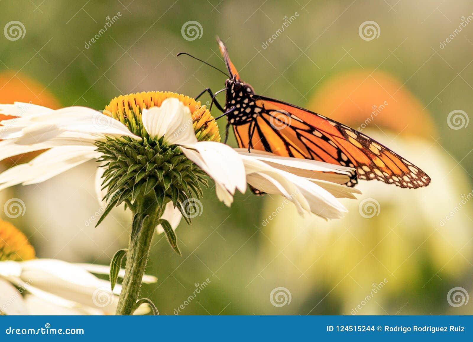 Κλείστε επάνω μιας πεταλούδας μοναρχών στεμένος σε μια άσπρη μαργαρίτα