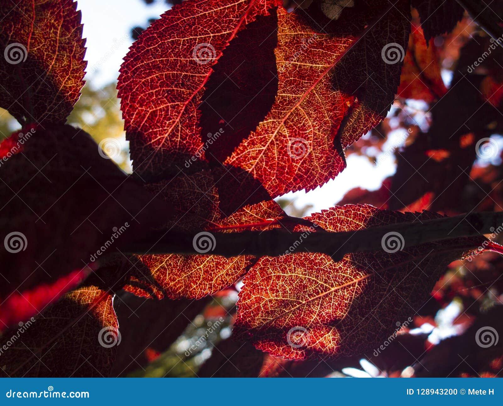 κλείστε επάνω περάσματα ήλιων φθινοπώρου μέσω των κόκκινων φύλλων