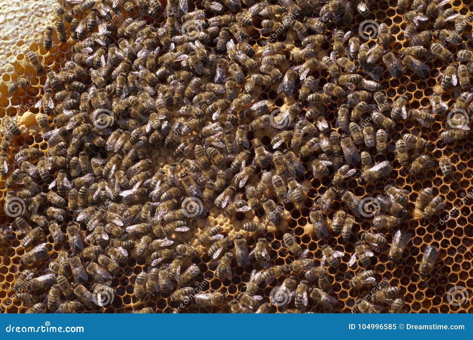 Κλείστε επάνω στις μέλισσες