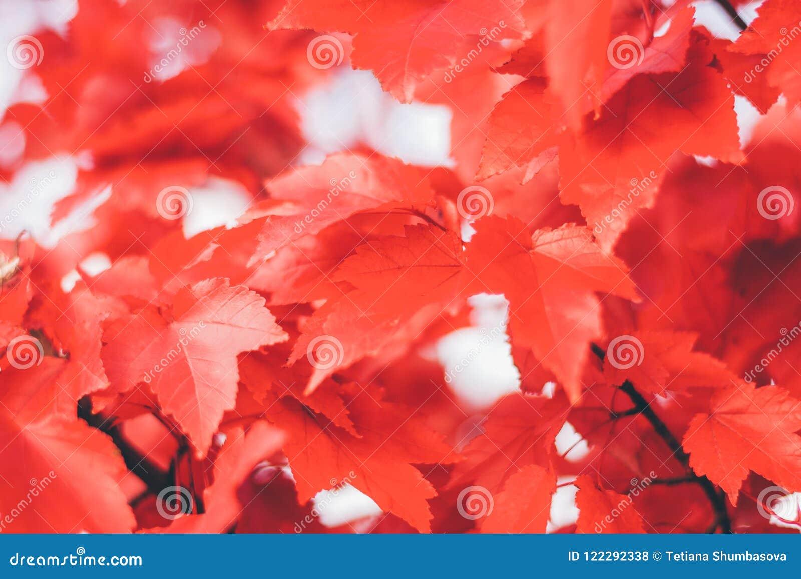 Κλείστε επάνω τα κόκκινα φύλλα σφενδάμου
