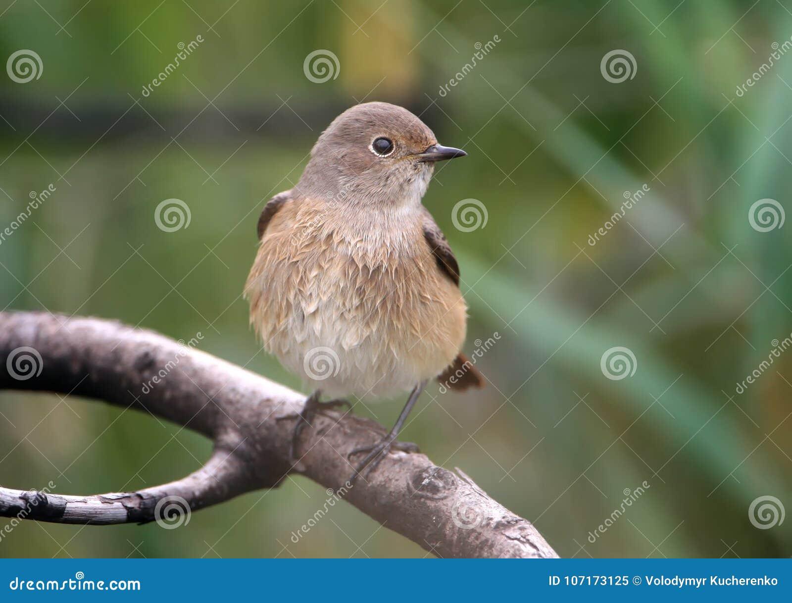 Κλείστε επάνω την άποψη σχετικά με το θηλυκό του κοινού phoenicurus Phoenicurus redstart