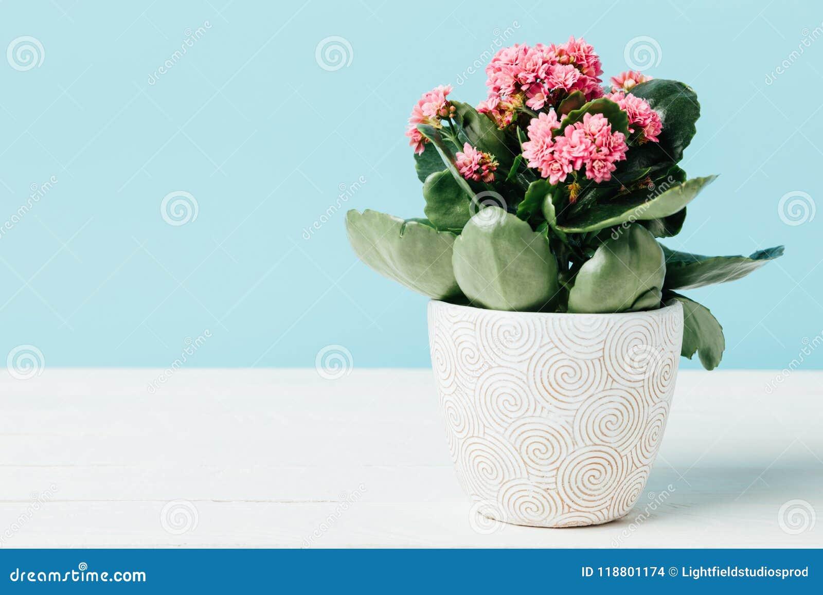 κλείστε επάνω την άποψη των ρόδινων λουλουδιών kalanchoe flowerpot ξύλινο tabletop που απομονώνεται στο μπλε