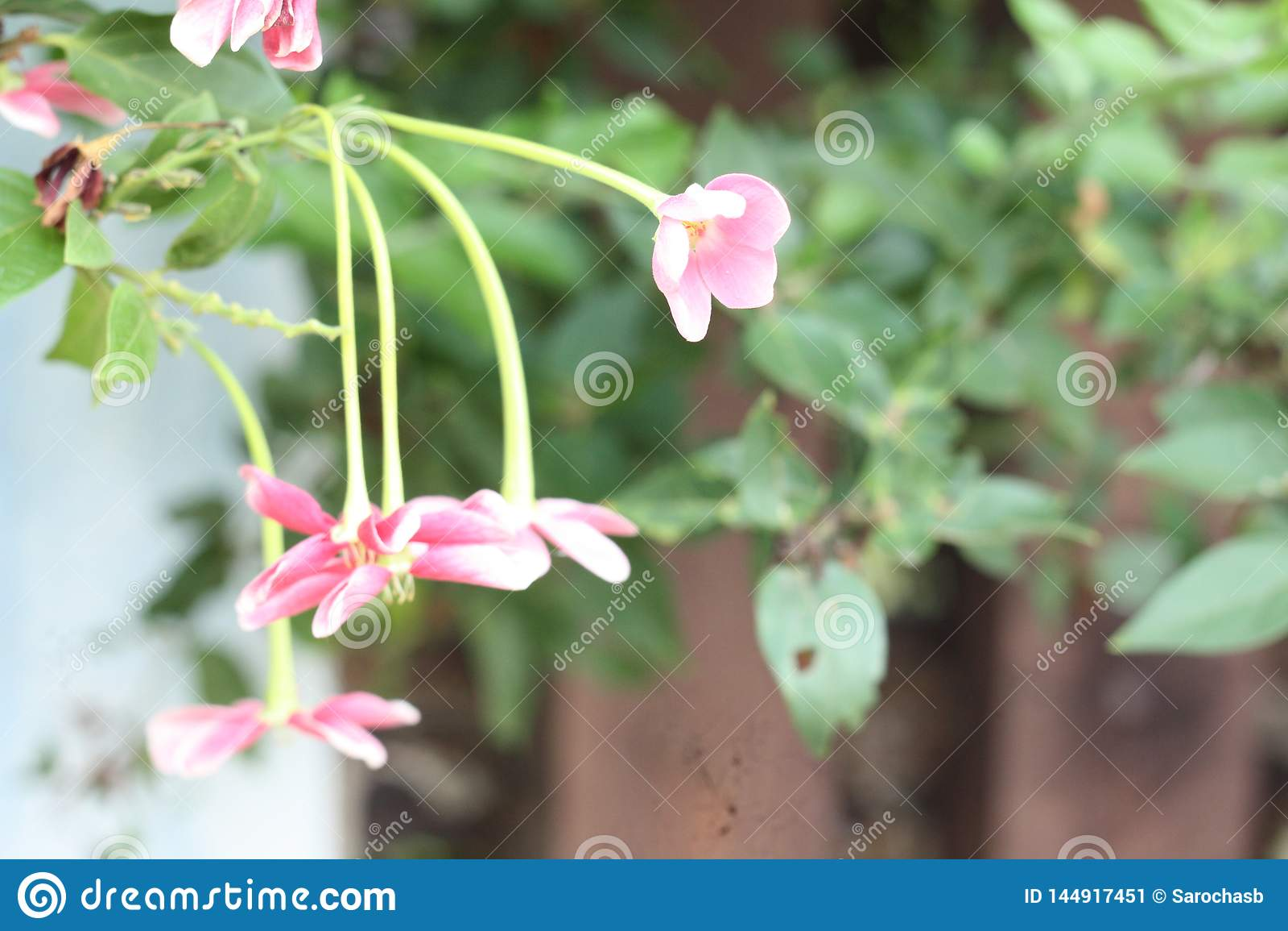 Κλείστε επάνω την εικόνα λουλουδιών των ζαλίζοντας όμορφων κινεζικών