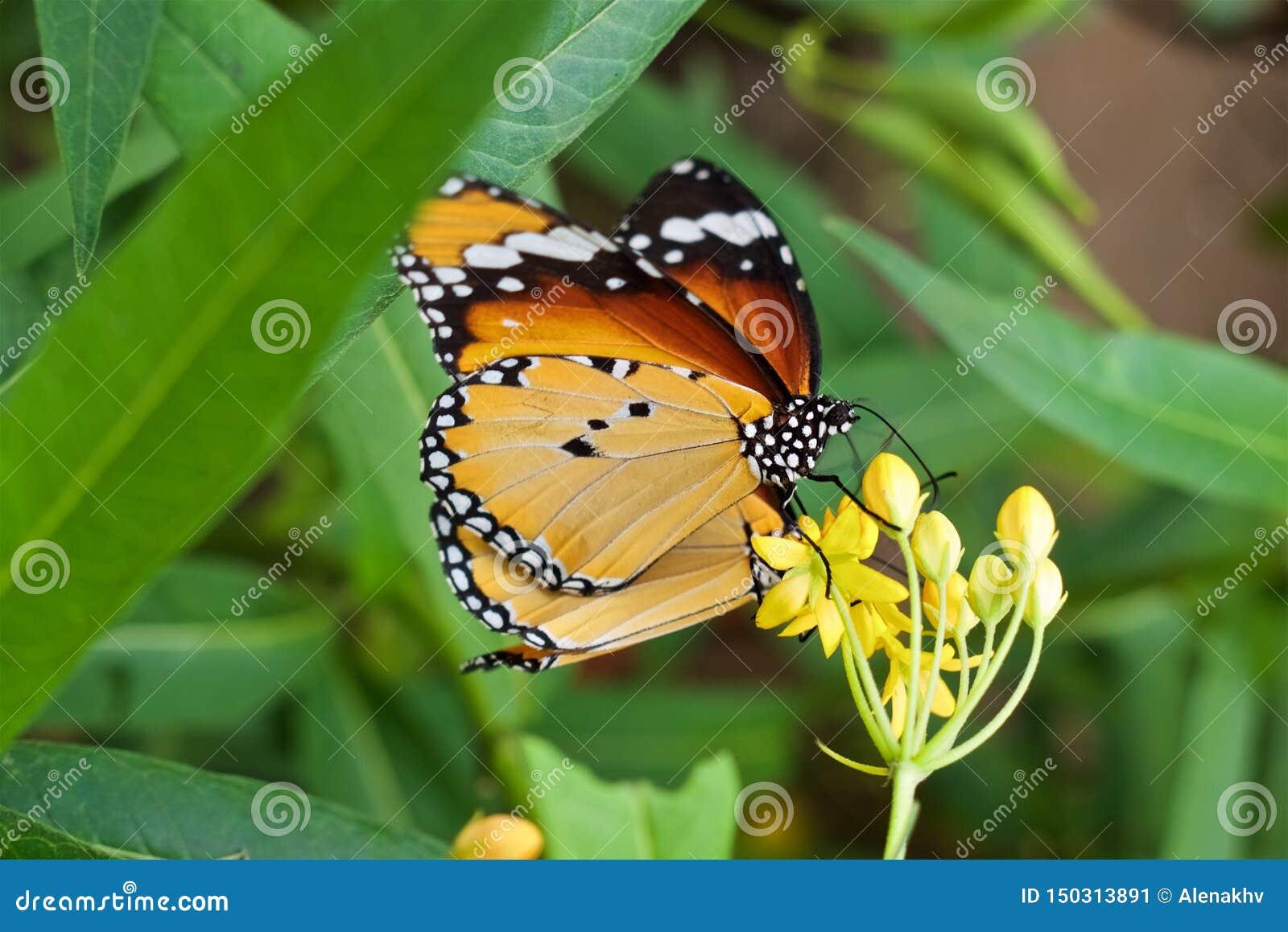 Κλείστε επάνω την πεταλούδα chrysippus Danaus με τα yellow-orange φτερά κάθεται σε ένα κίτρινο λουλούδι