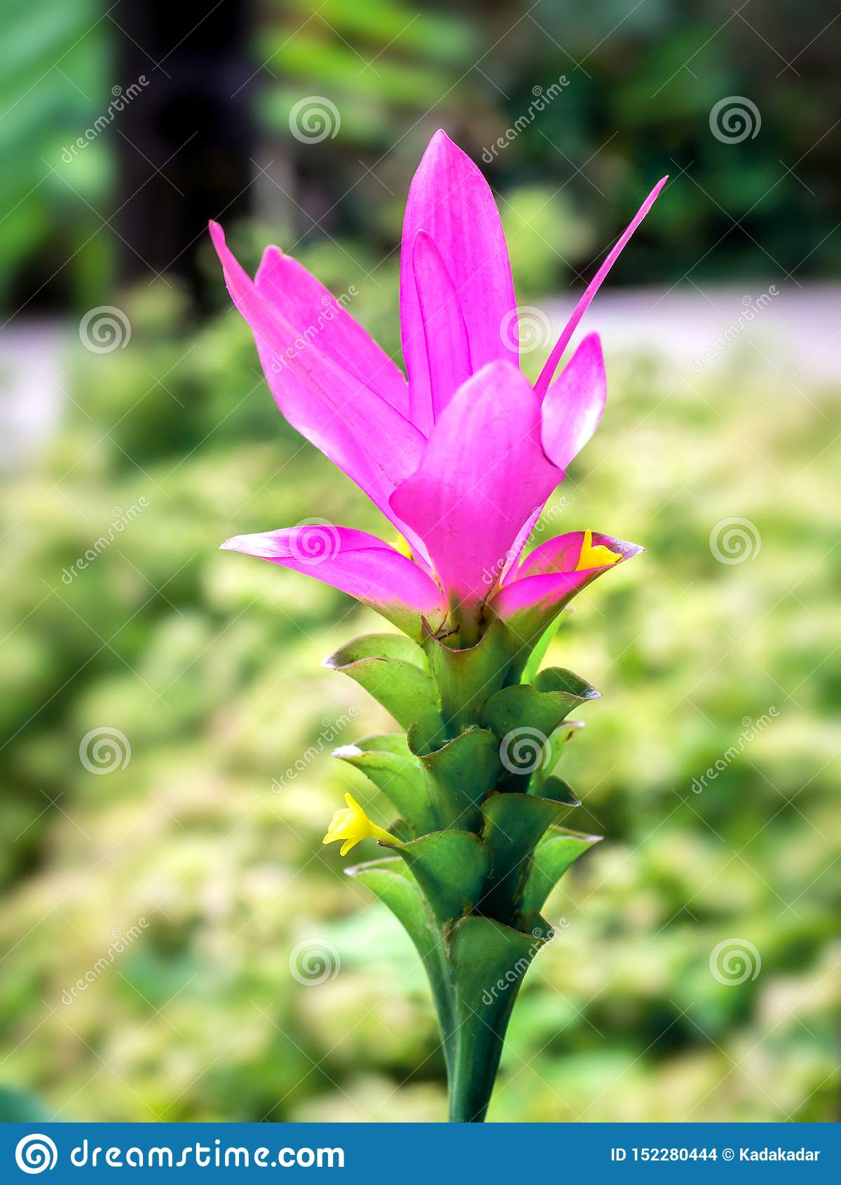 Κλείστε επάνω της τουλίπας ή του λουλουδιού 01 του Σιάμ Krachiew