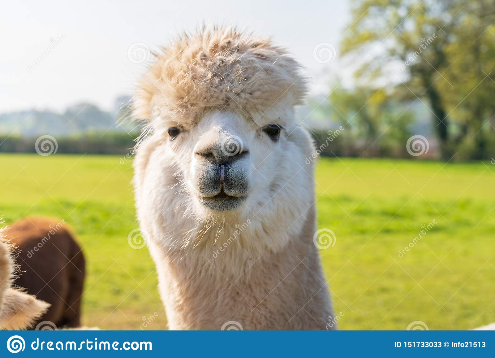 Κλείστε επάνω του αστείου άσπρου alpacaa στο αγρόκτημα