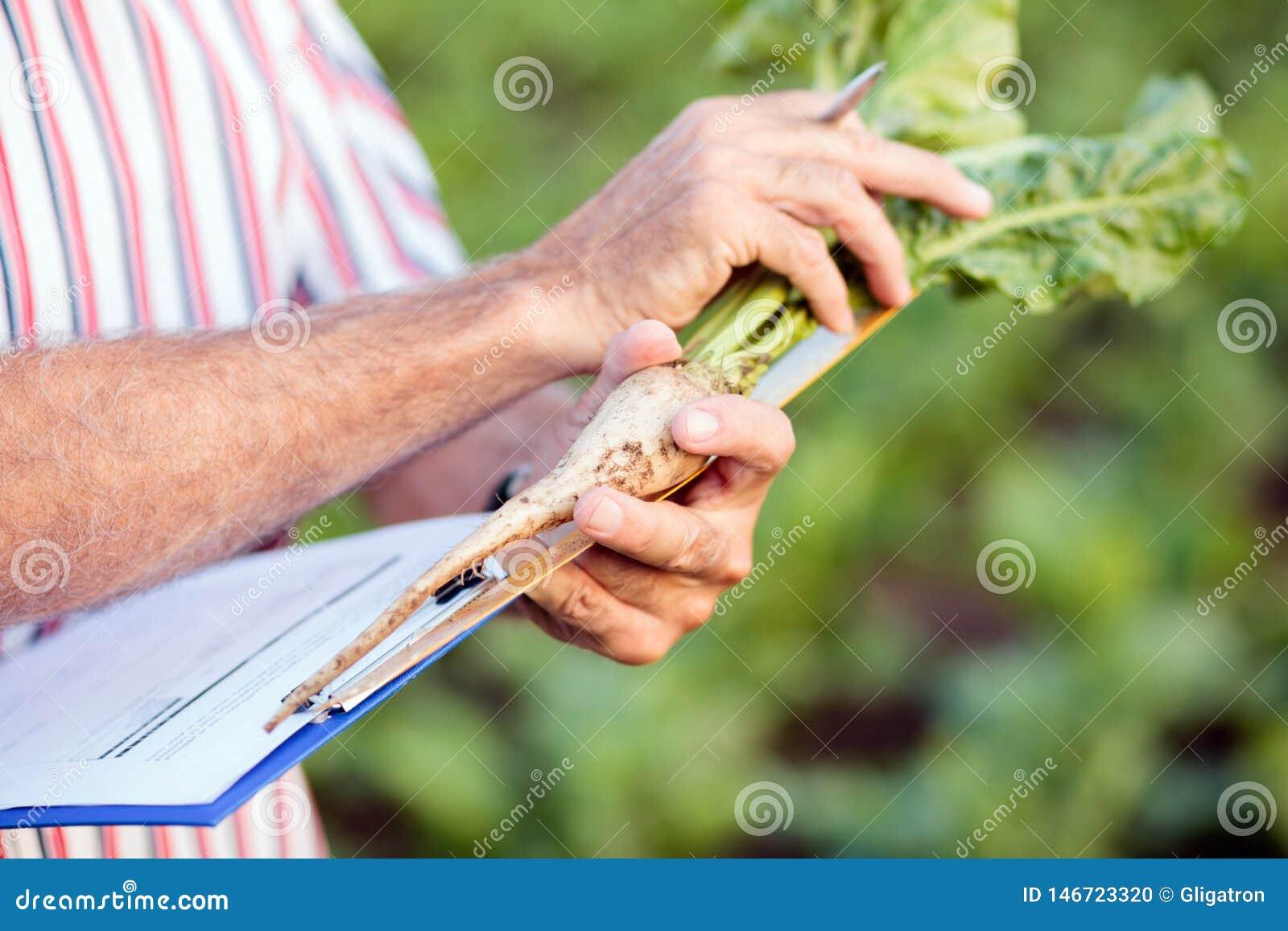 Κλείστε επάνω του γεωπόνου ή του αγρότη που μετρά τις ρίζες σακχαρότευτλων με έναν κυβερνήτη και που γράφει τα στοιχεία στο ερωτη