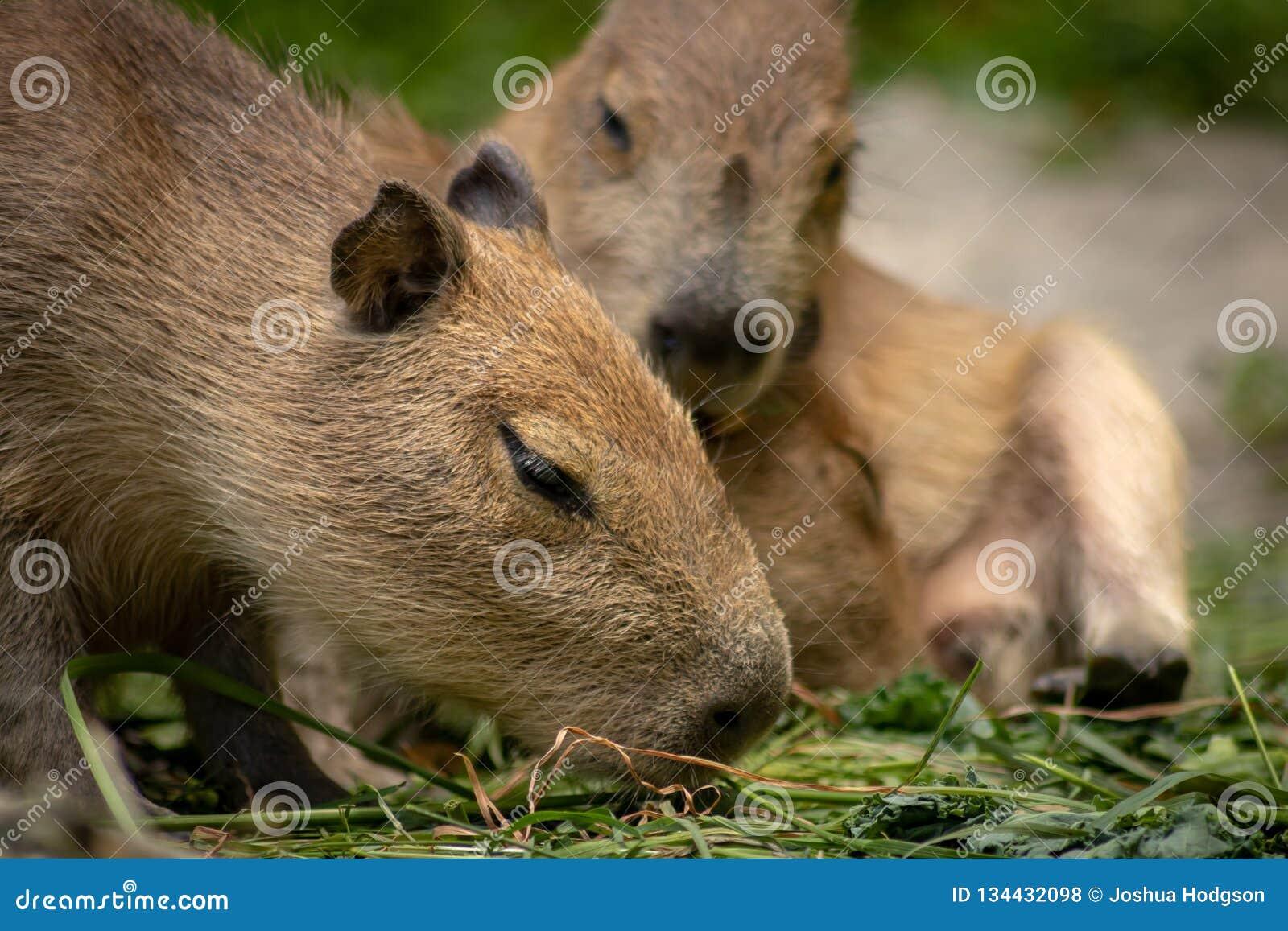 Κλείστε επάνω του μωρού Capybara που τρώει τα φύλλα