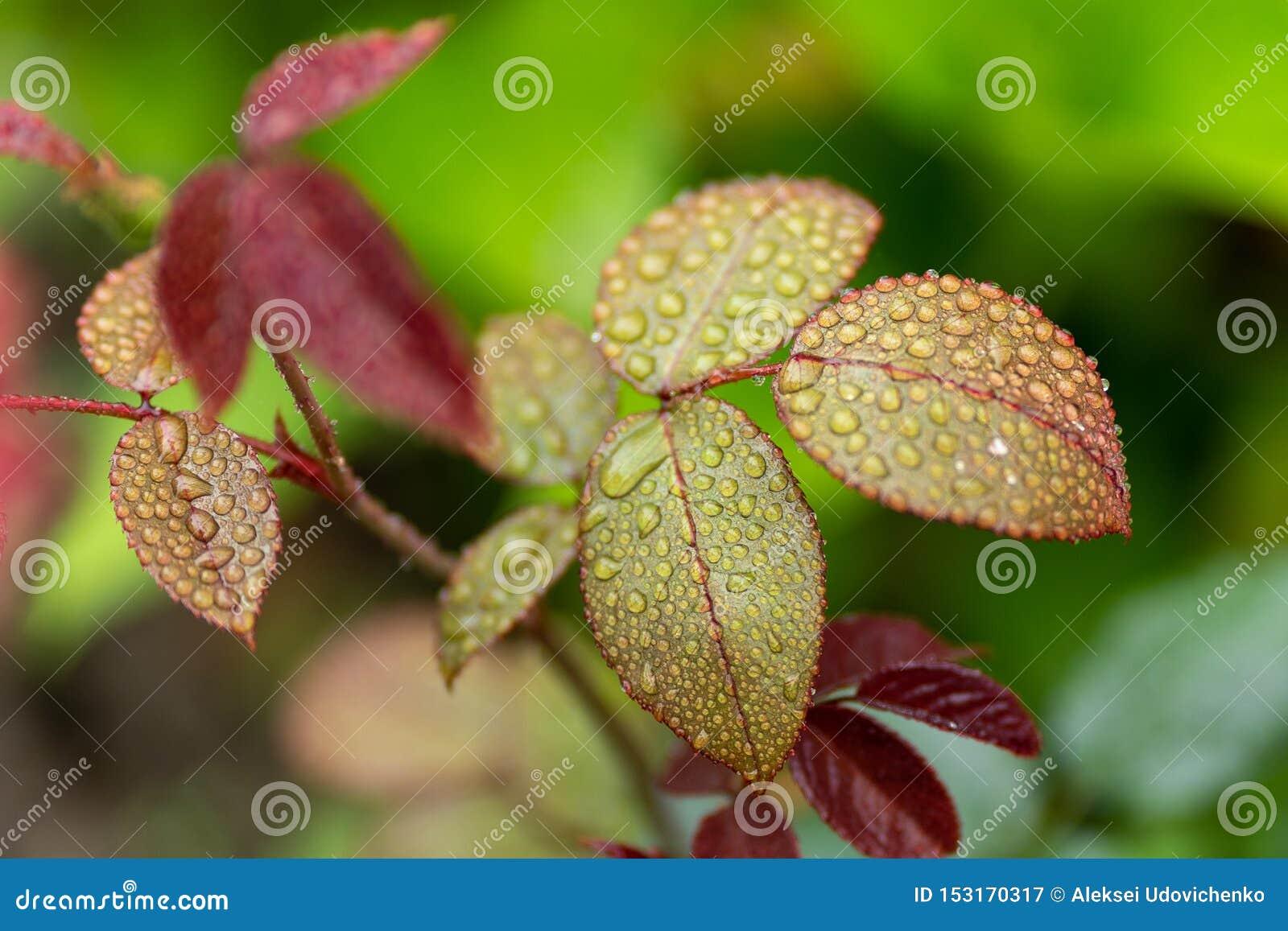 Κλείστε επάνω του τσαγιού αυξήθηκε βγάζει φύλλα με τις πτώσεις βροχής στη μαλακή εστίαση