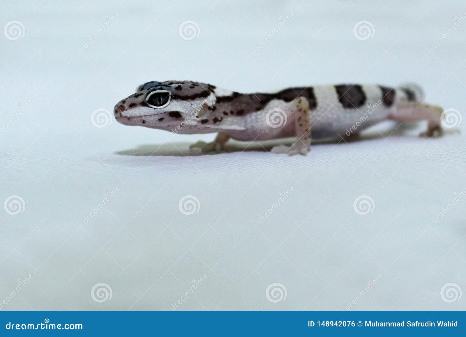 Κλείστε επάνω το βλαστό του gecko λεοπαρδάλεων
