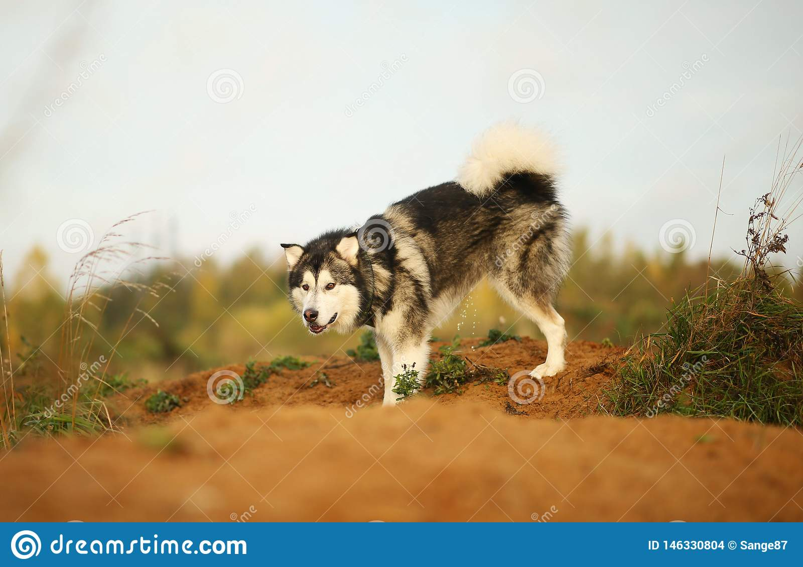 Κλείστε επάνω το μεγάλο καφετί άσπρο καθαρής φυλής μεγαλοπρεπές από την Αλάσκα σκυλί της Αλάσκας Malamute περπατώντας στον κενό τ