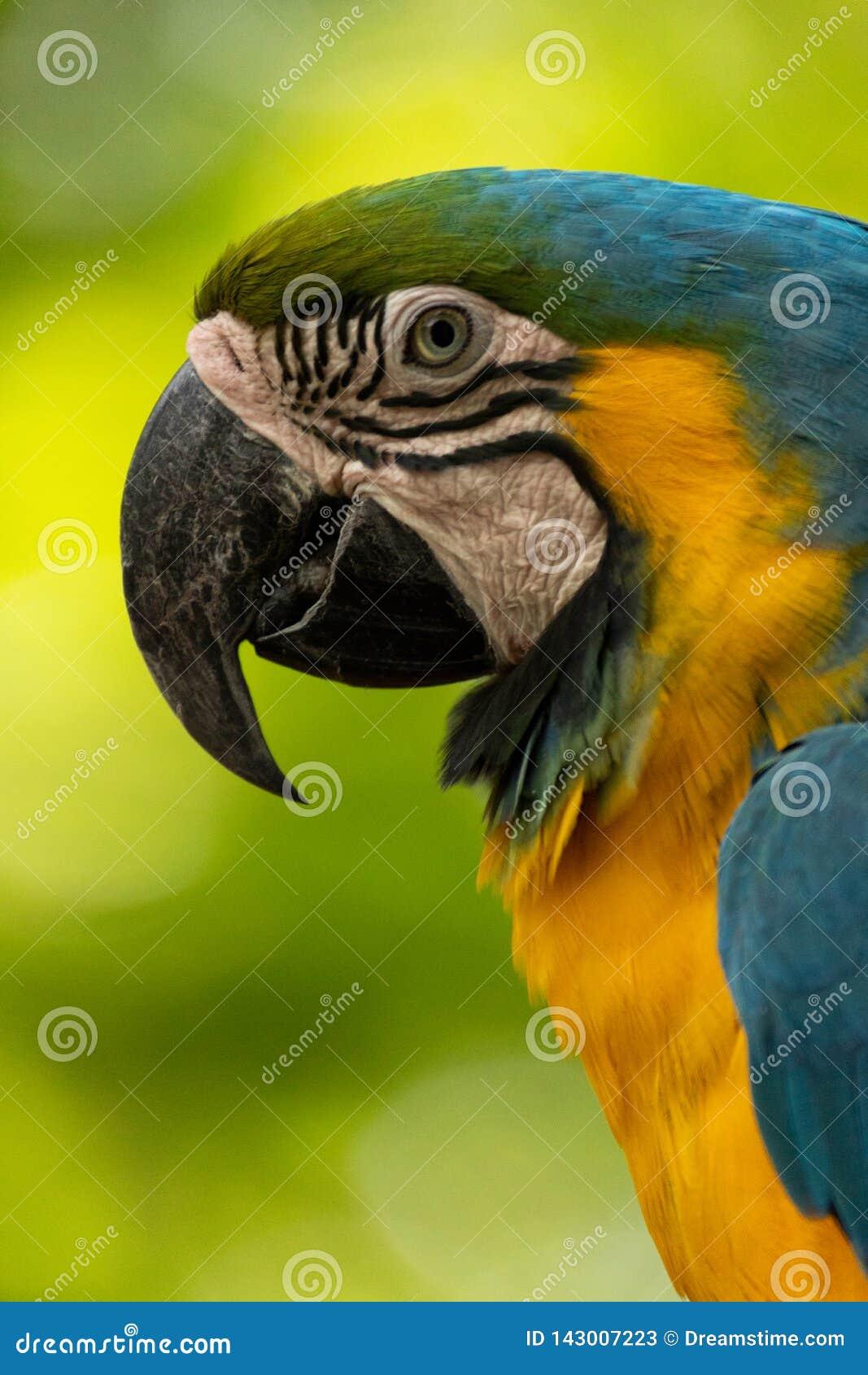 Κλείστε επάνω το πορτρέτο όμορφου και colorfull macaw