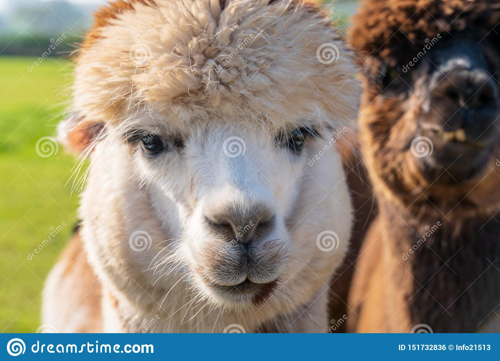 Κλείστε επάνω των αστείων προβατοκαμήλων στο αγρόκτημα