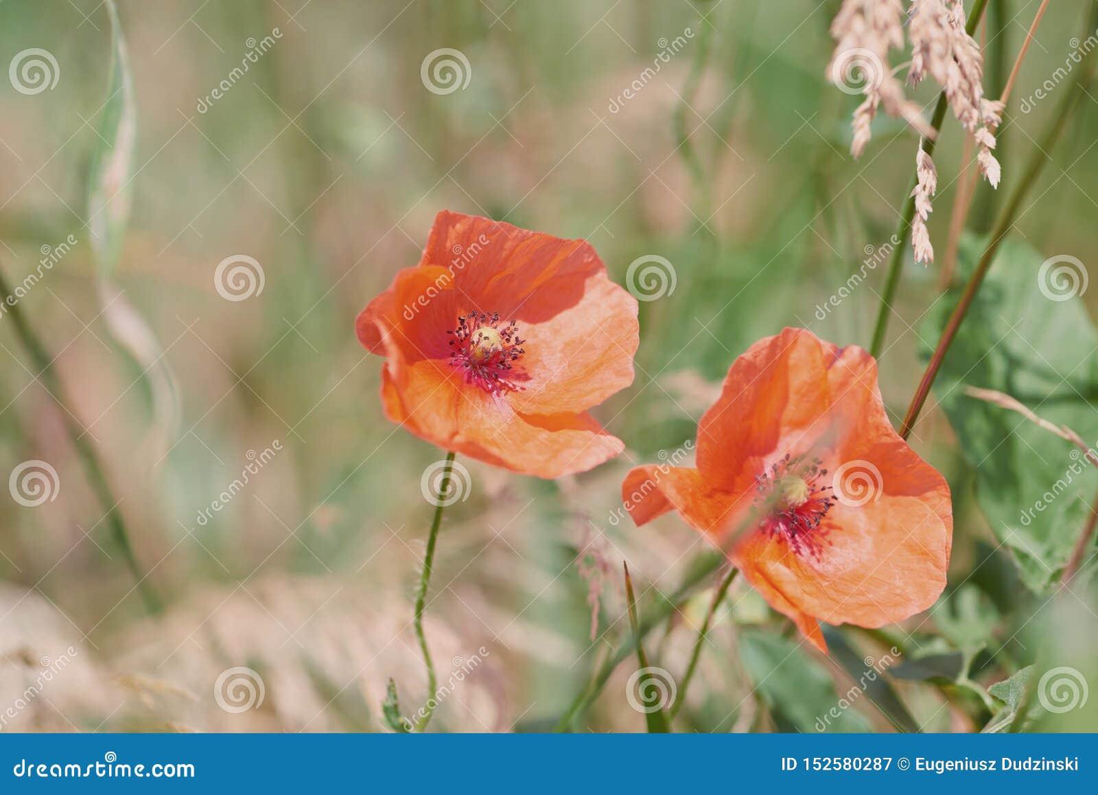 Κλείστε επάνω των κόκκινων λουλουδιών παπαρουνών