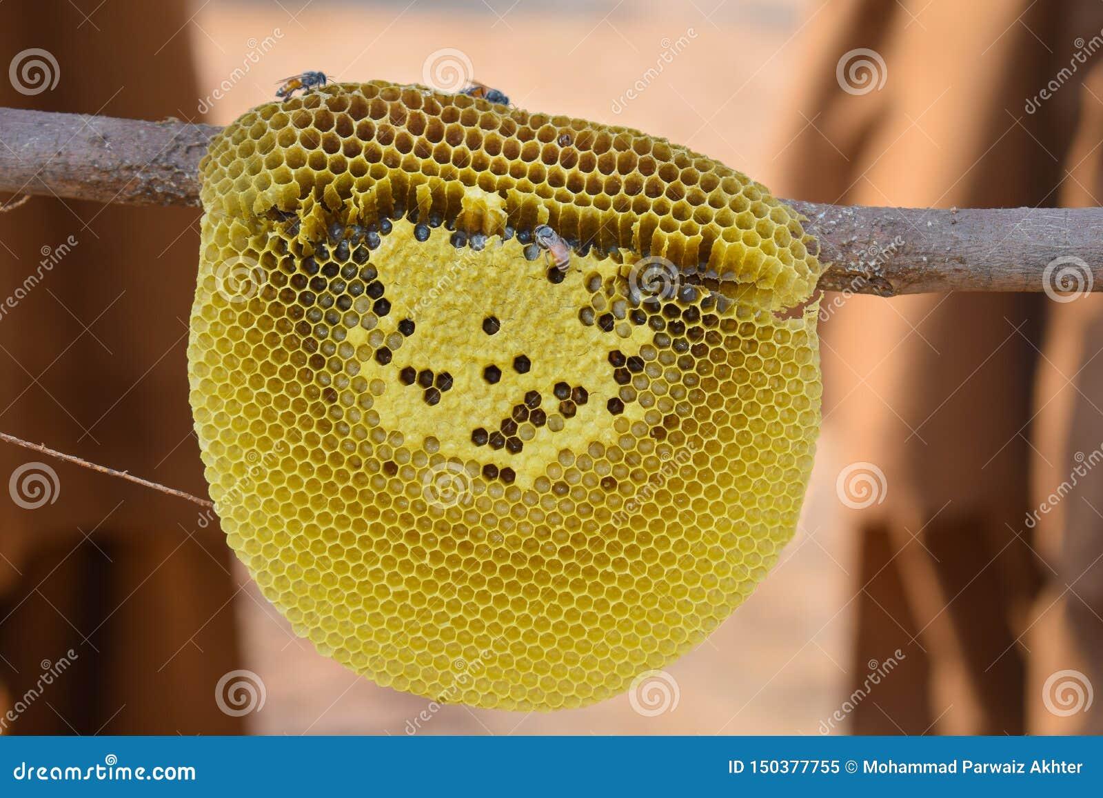 Κλείστε επάνω των μελισσών μελιού στη χτένα μελιού