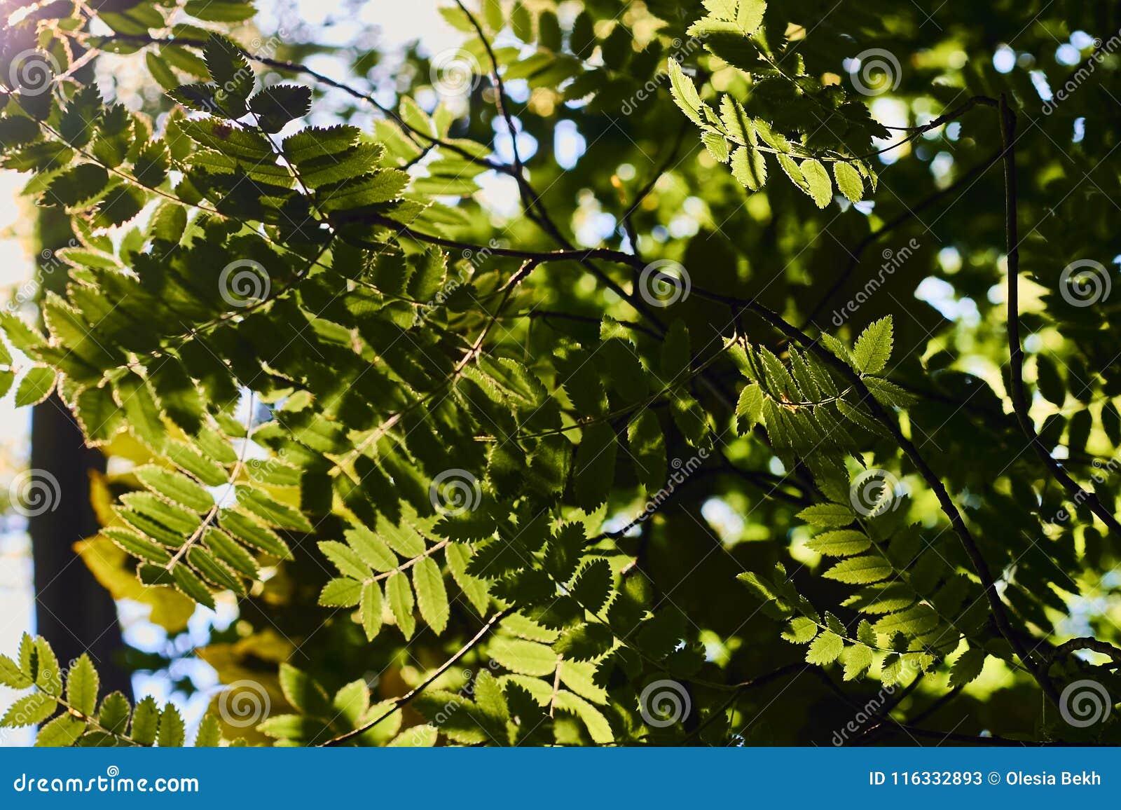 Κλείστε επάνω των φρέσκων πράσινων φύλλων που φωτίζονται από το φως του ήλιου
