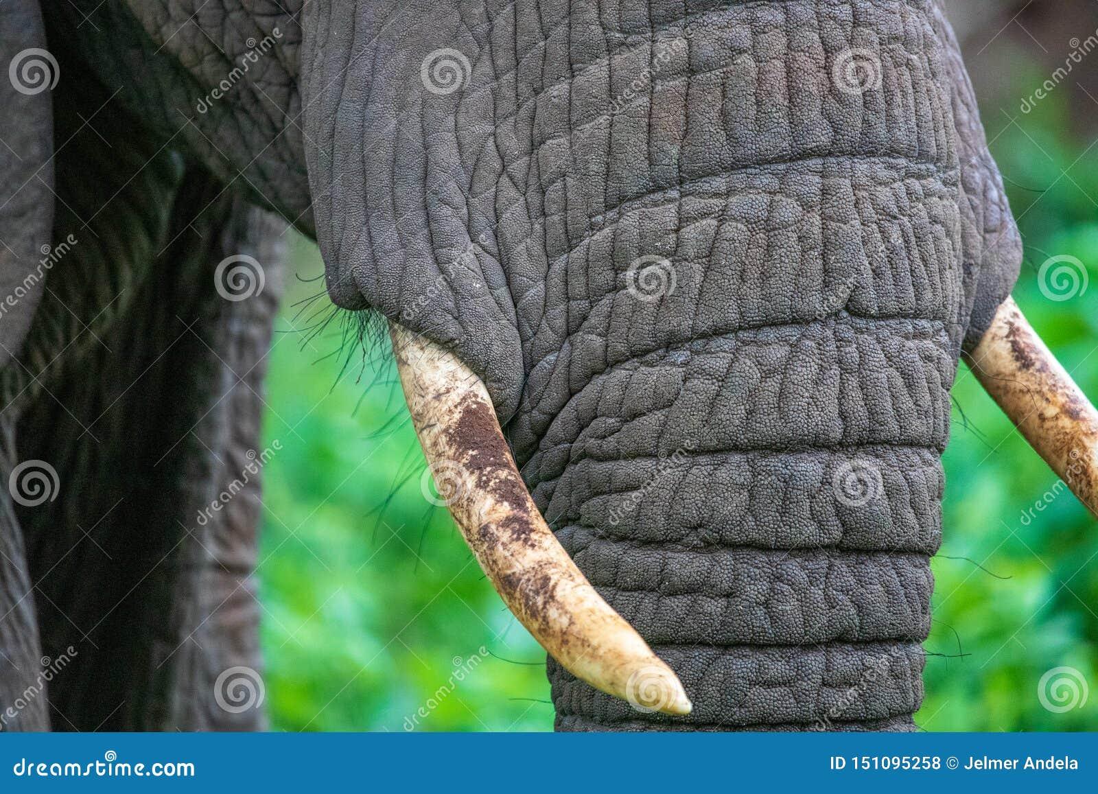 Κλείστε επάνω των χαυλιοδόντων ελεφάντων