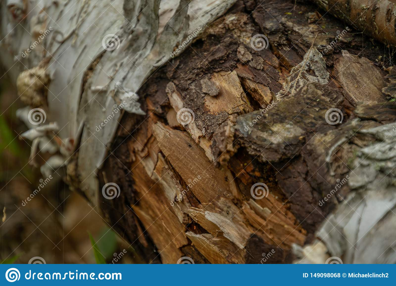 Κλείστε το επάνω πεσμένο δέντρο σημύδων