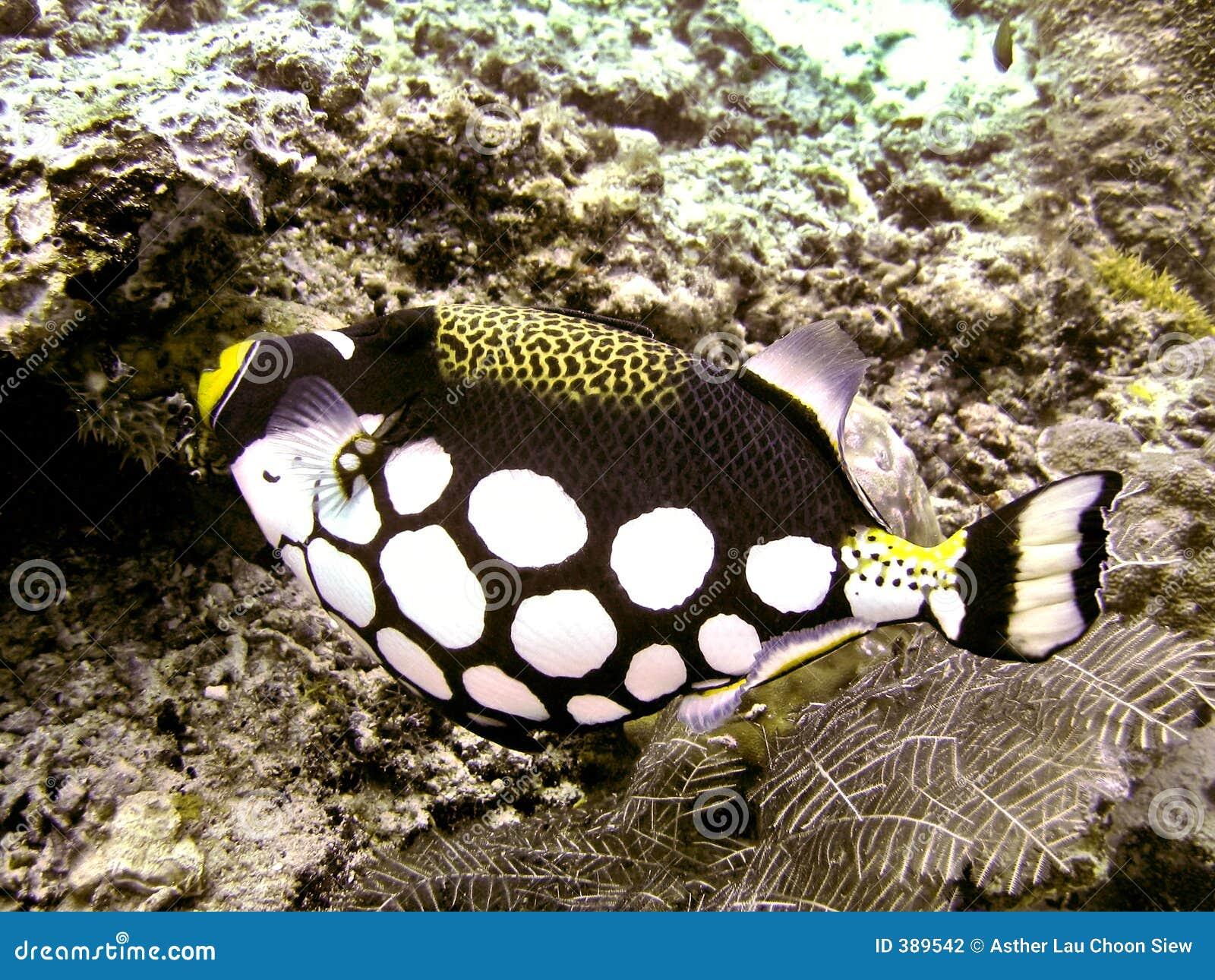 κλόουν triggerfish