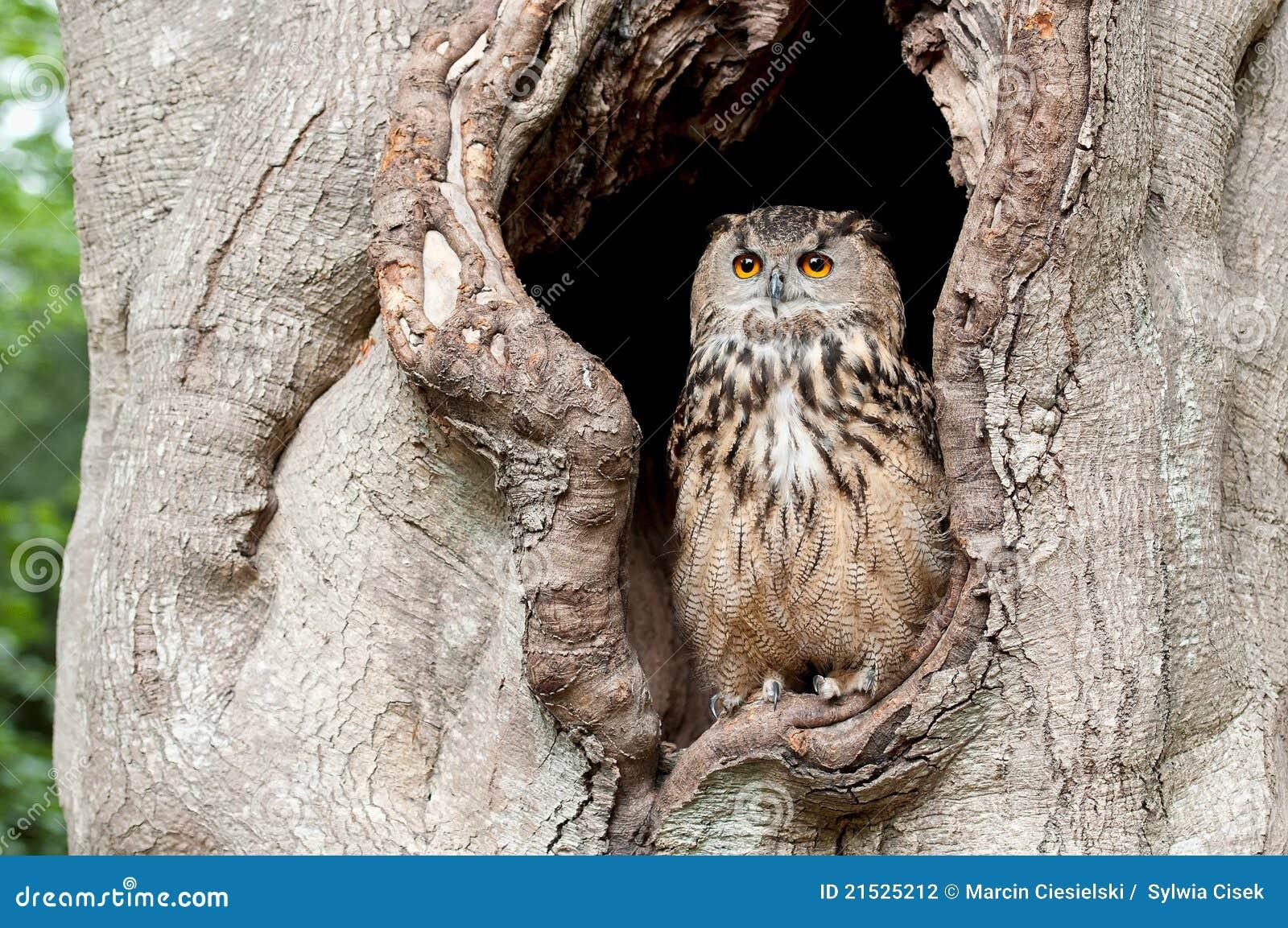 κοίλο δέντρο κουκουβα