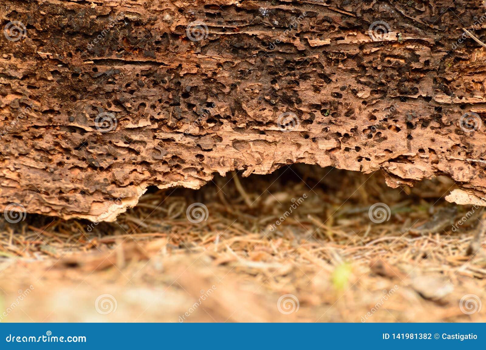 Κοιλαμένοι διάδρομοι μέσω των woodworms στον αποσυντεθειμένο ξύλινο φλοιό