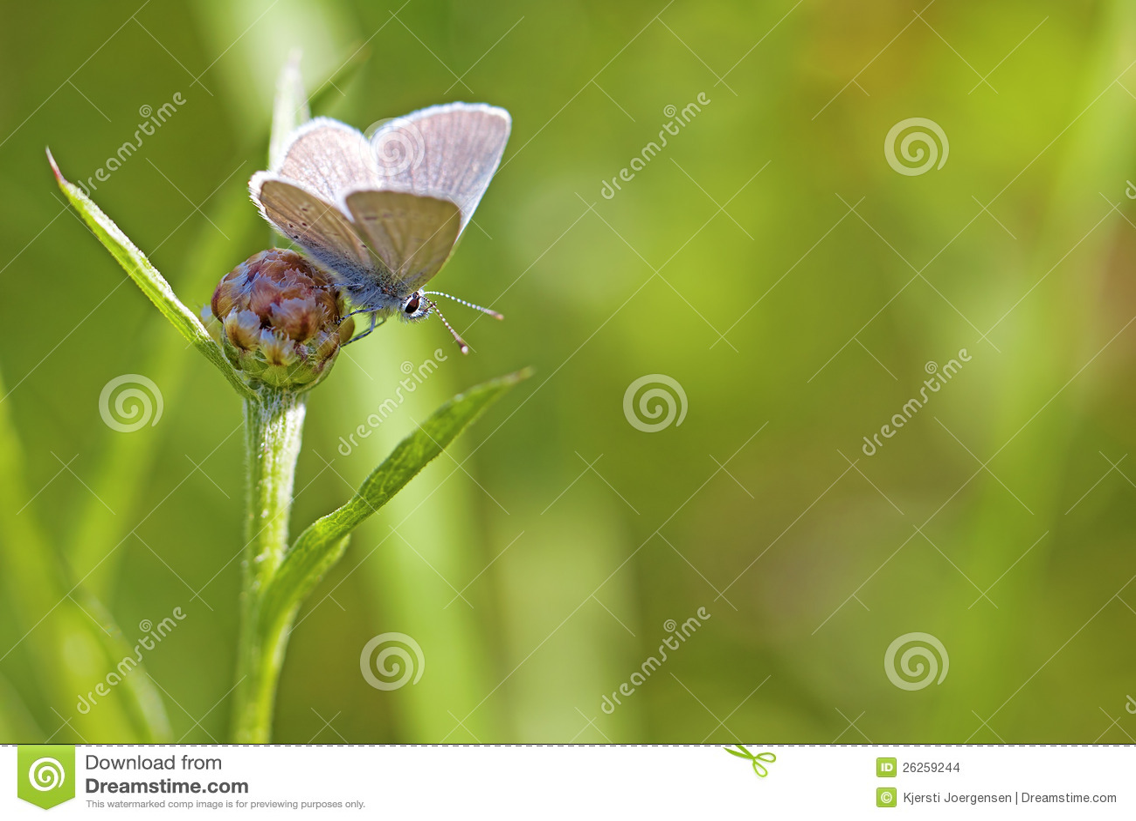 Κοινή μπλε πεταλούδα