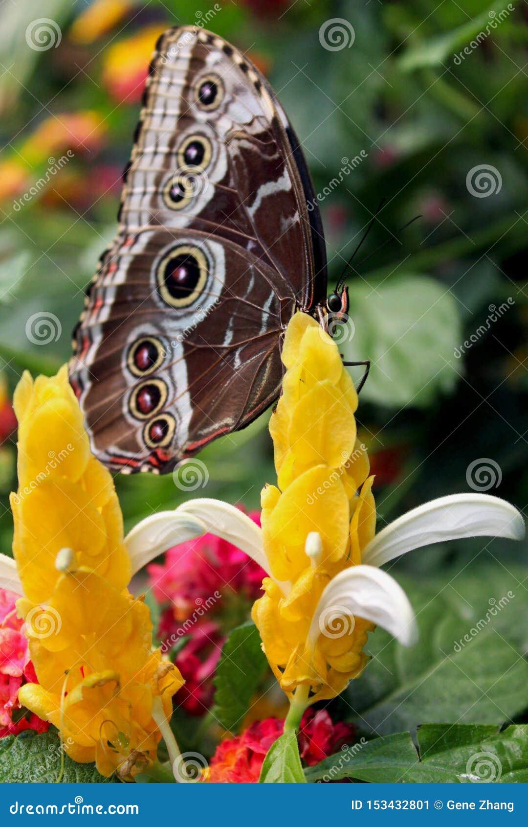 Κοινή μπλε πεταλούδα morpho στις εγκαταστάσεις Lollipop ή το χρυσό κερί