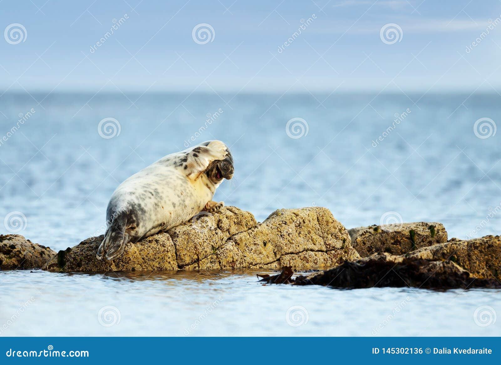 Κοινή σφραγίδα που βρίσκεται σε έναν βράχο με το βατραχοπέδιλο στο κεφ