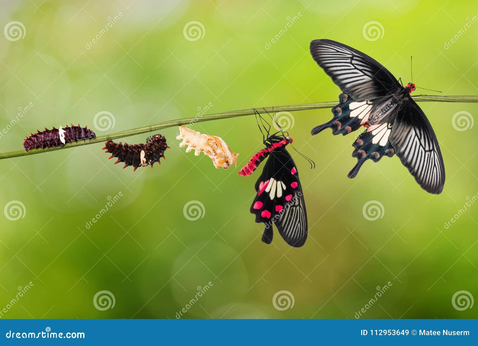 Κοινός αυξήθηκε κύκλος ζωής πεταλούδων aristolochiae Pachliopta