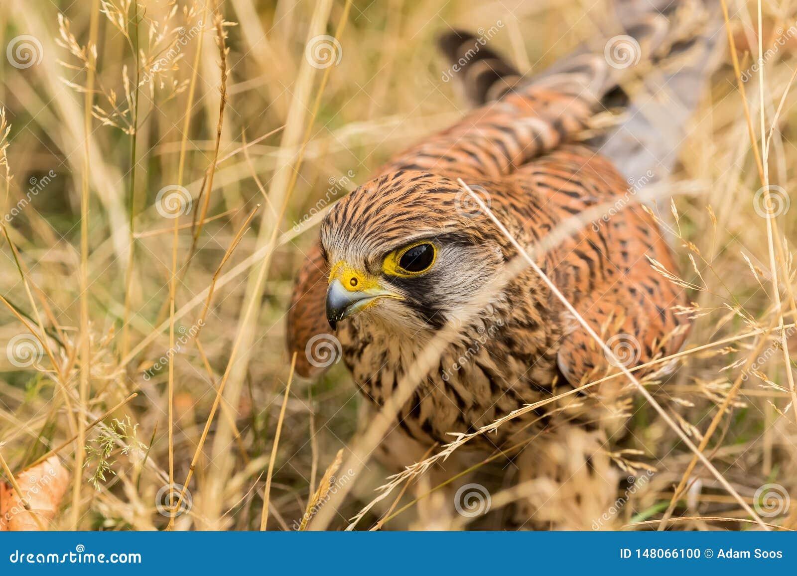 Κοινό γεράκι, ένα από τα πιό κοινά πουλιά του θηράματος