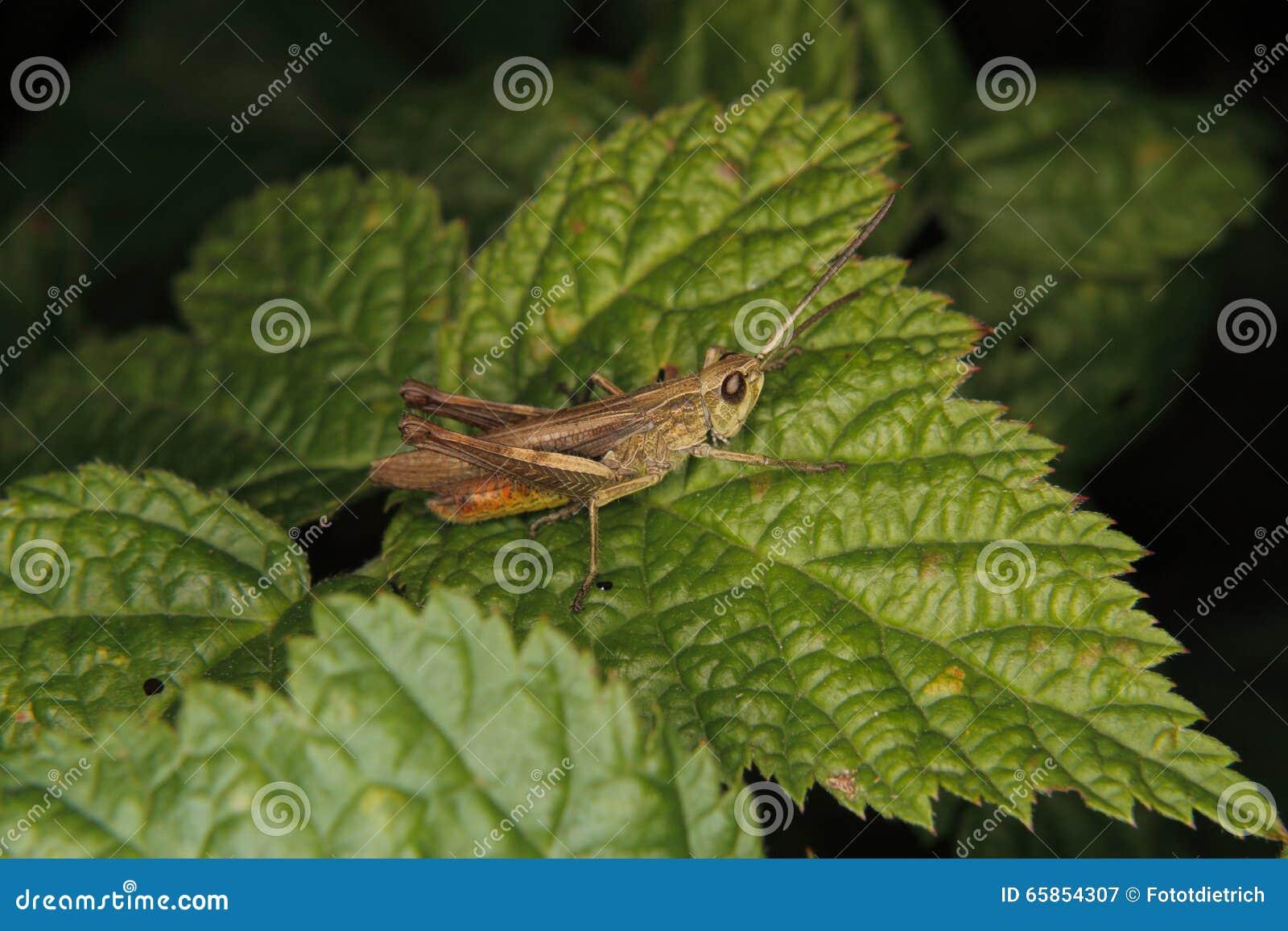 κοινό grasshopper πεδίων chorthippus brunneus
