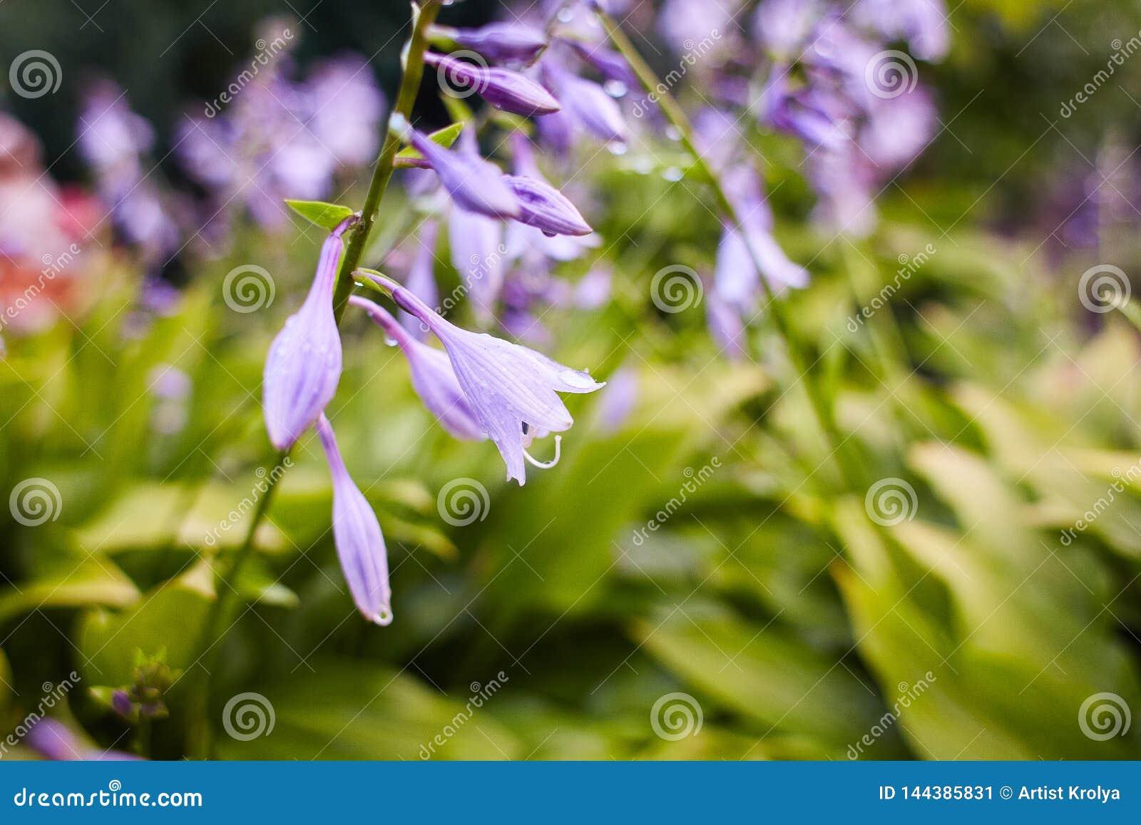 Κοινό persicifolia Campanula bellflower/ροδάκινο-με φύλλα bellflower με τις πτώσεις της βροχής στα ιώδη λουλούδια