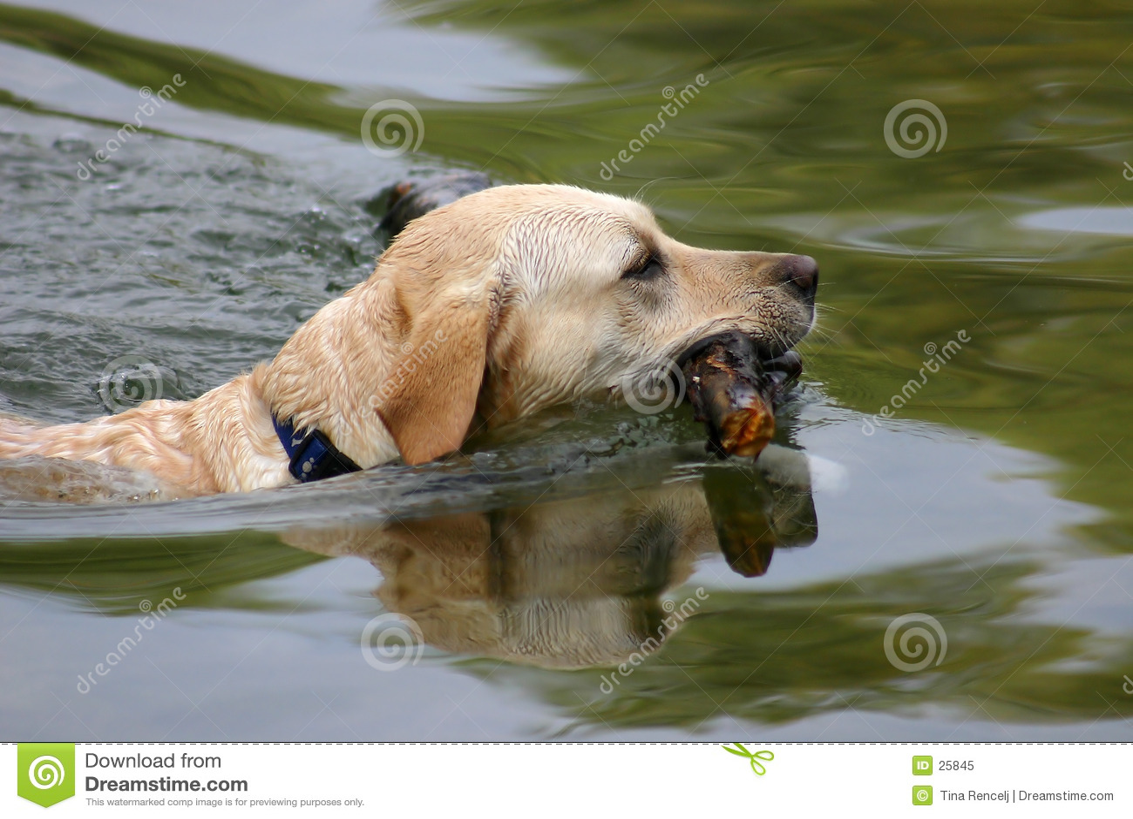 κολύμβηση σκυλιών