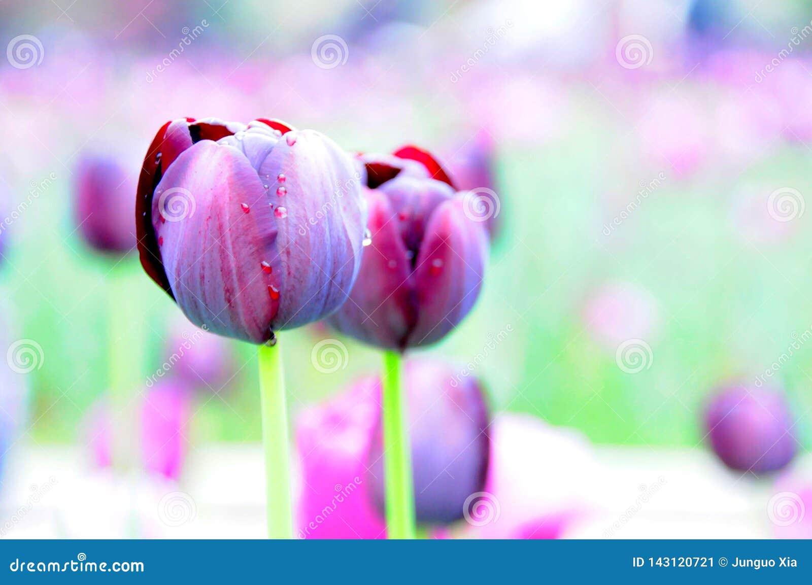 Κομψό λουλούδι τουλιπών στον κήπο