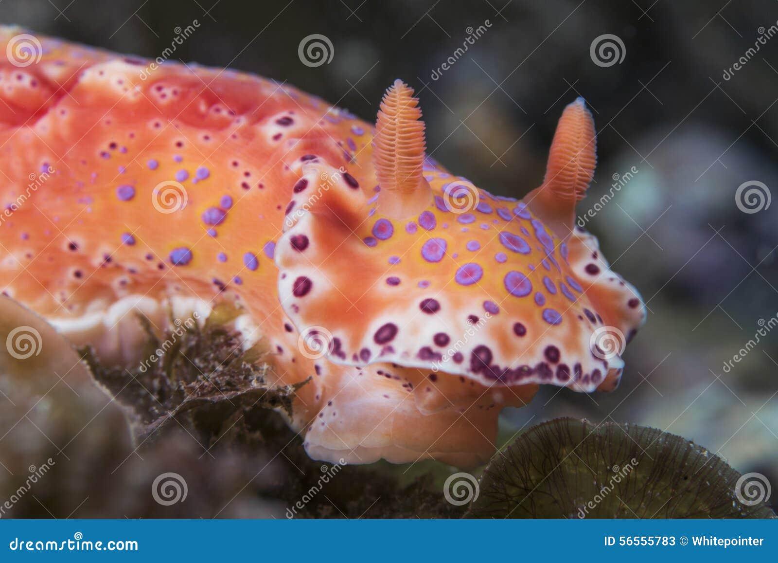 Download Κοντό παρακολουθημένο Ceratosoma Nudibranch Στοκ Εικόνα - εικόνα από snorkeling, πορτοκάλι: 56555783