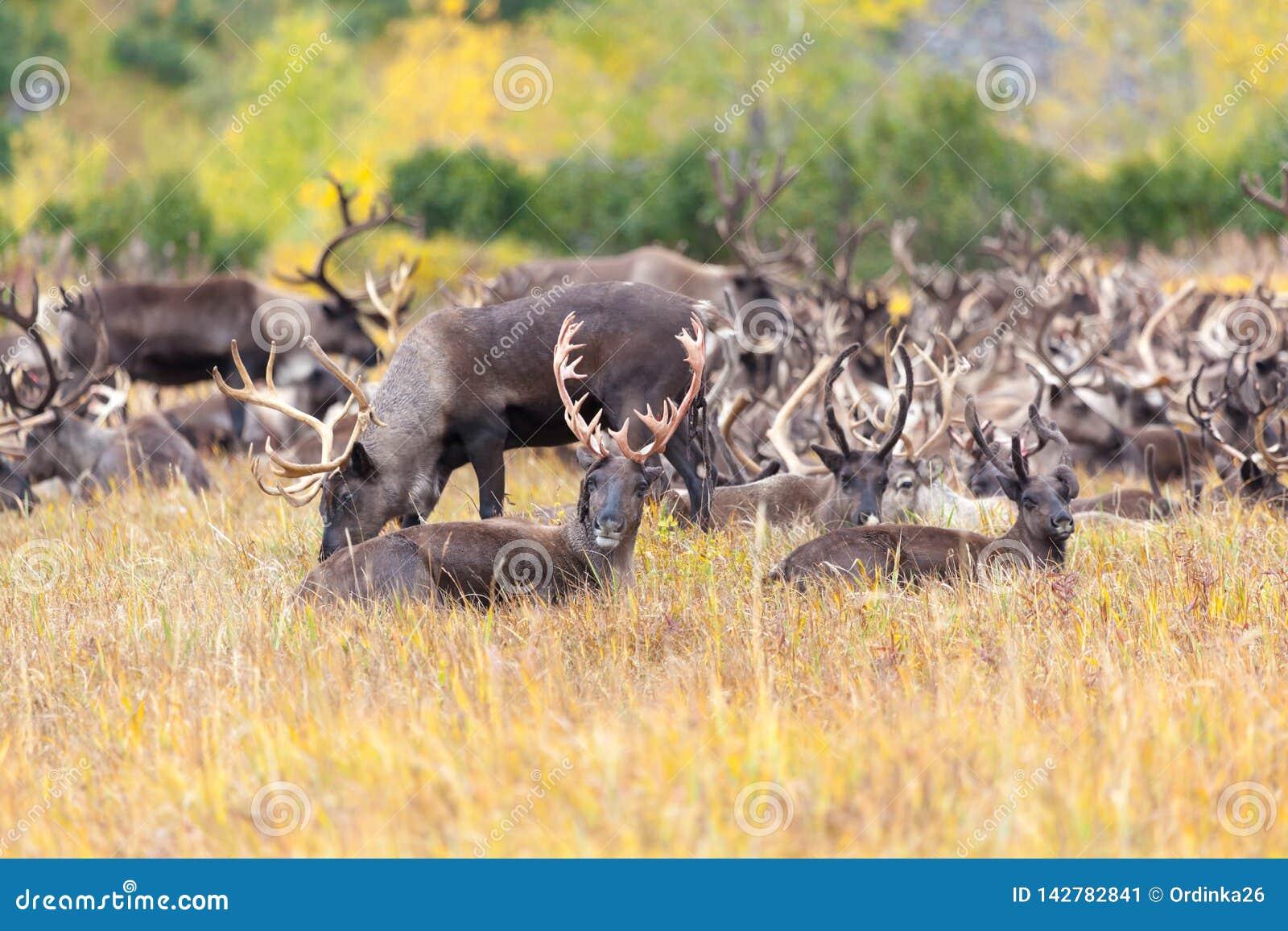 Κοπάδι του ταράνδου tundra το φθινόπωρο