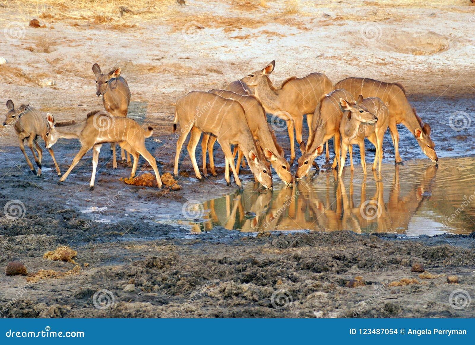 Κοπάδι του kudu σε μια τρύπα ποτίσματος