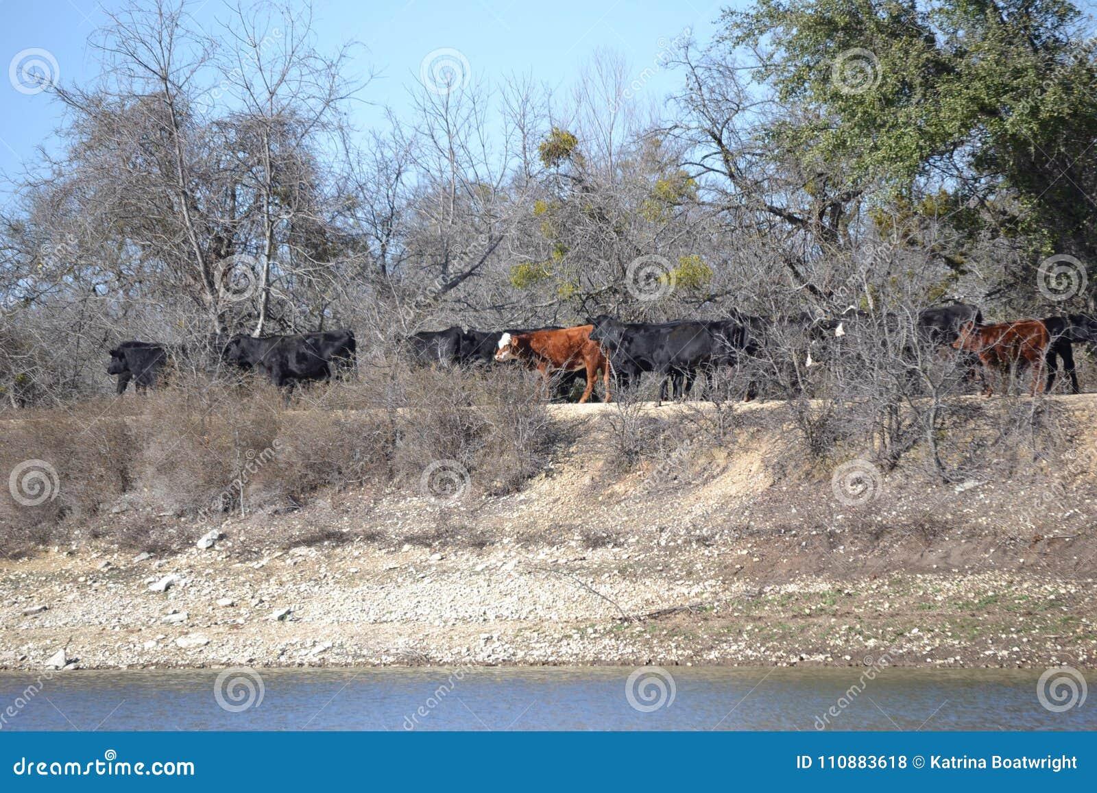 Κοπάδι των αγελάδων βόειου κρέατος που διασχίζουν ένα φράγμα λιμνών