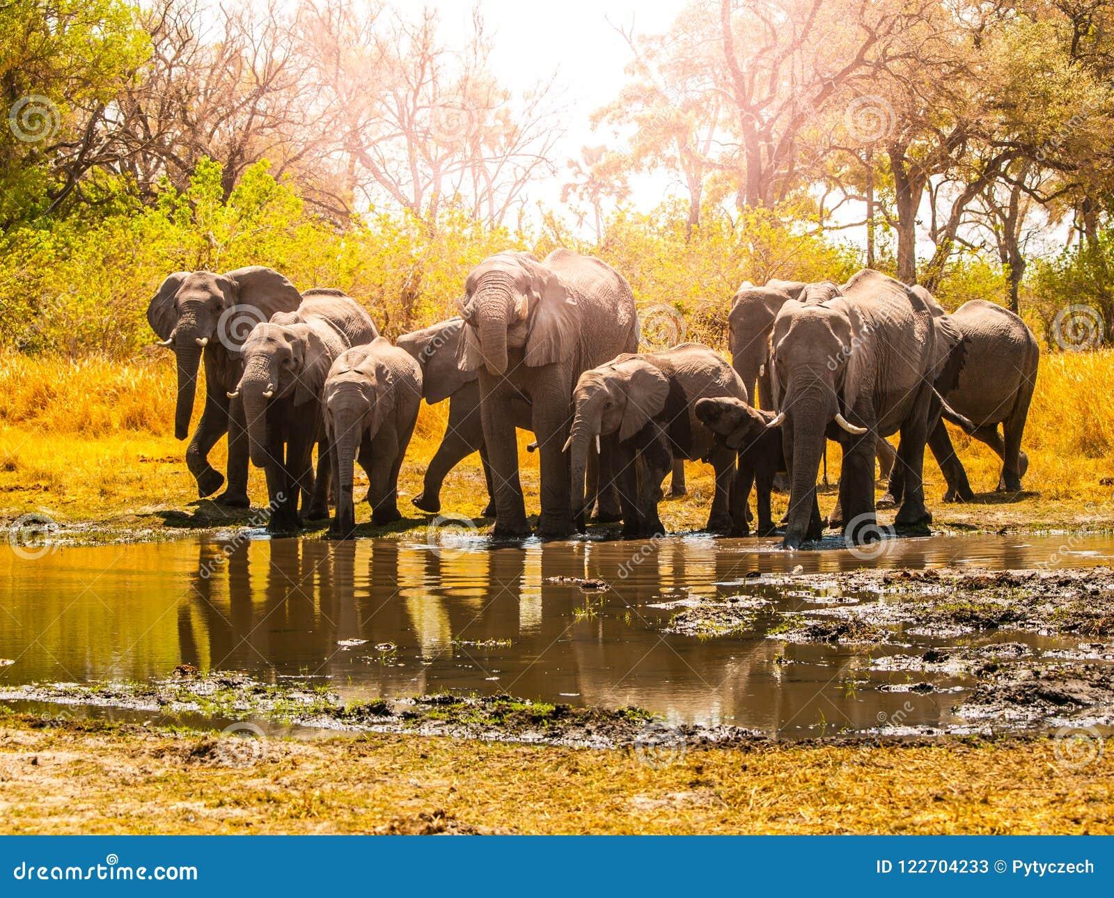 Κοπάδι των αφρικανικών ελεφάντων στο waterhole Εθνικό πάρκο Chobe, περιοχή Okavango, της Μποτσουάνα, Αφρική