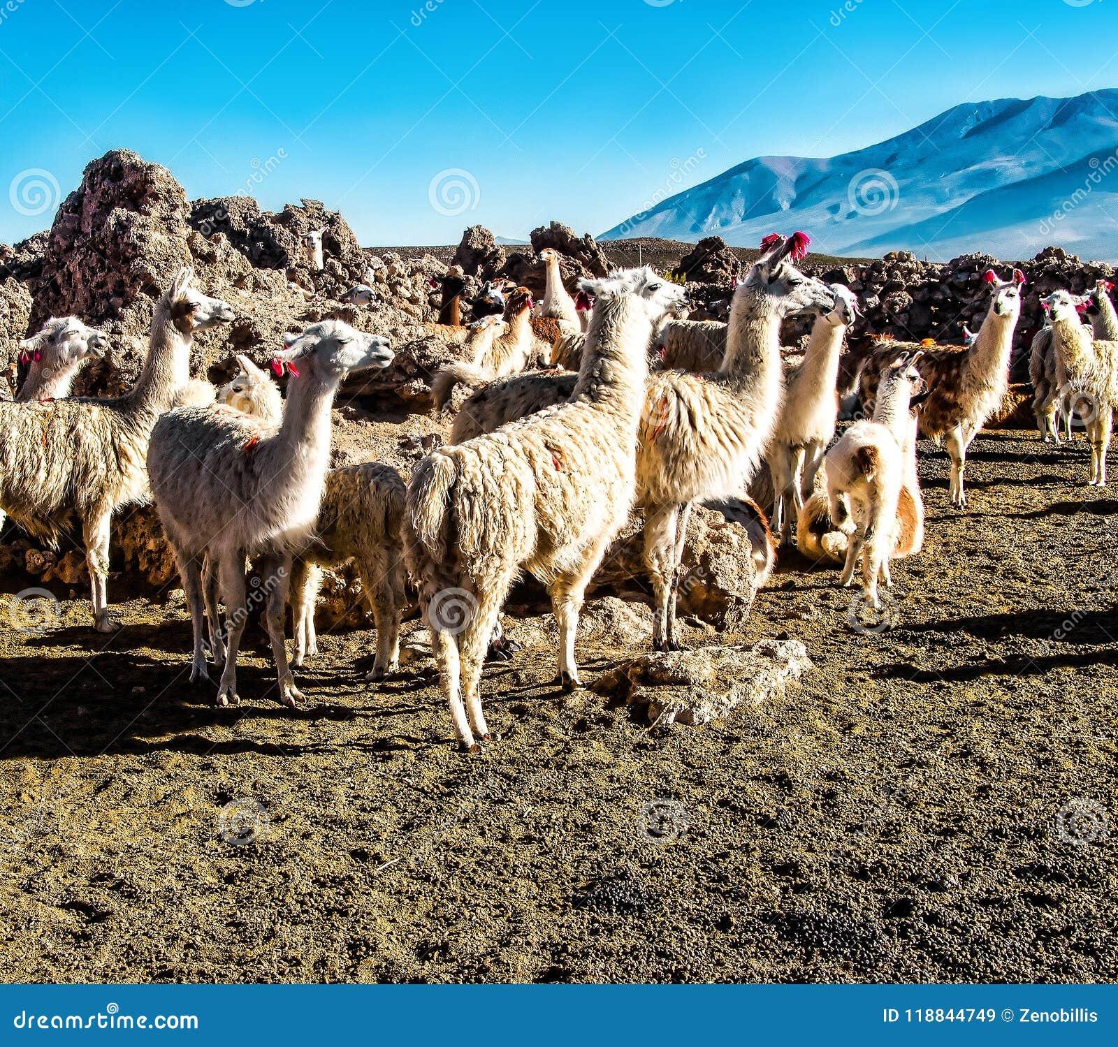 Κοπάδι των λάμα που βόσκουν στο βολιβιανό altiplano στο υπόβαθρο των θαυμάσιων ηφαιστείων Εσωτερικός λάμα Χαριτωμένα ζώα